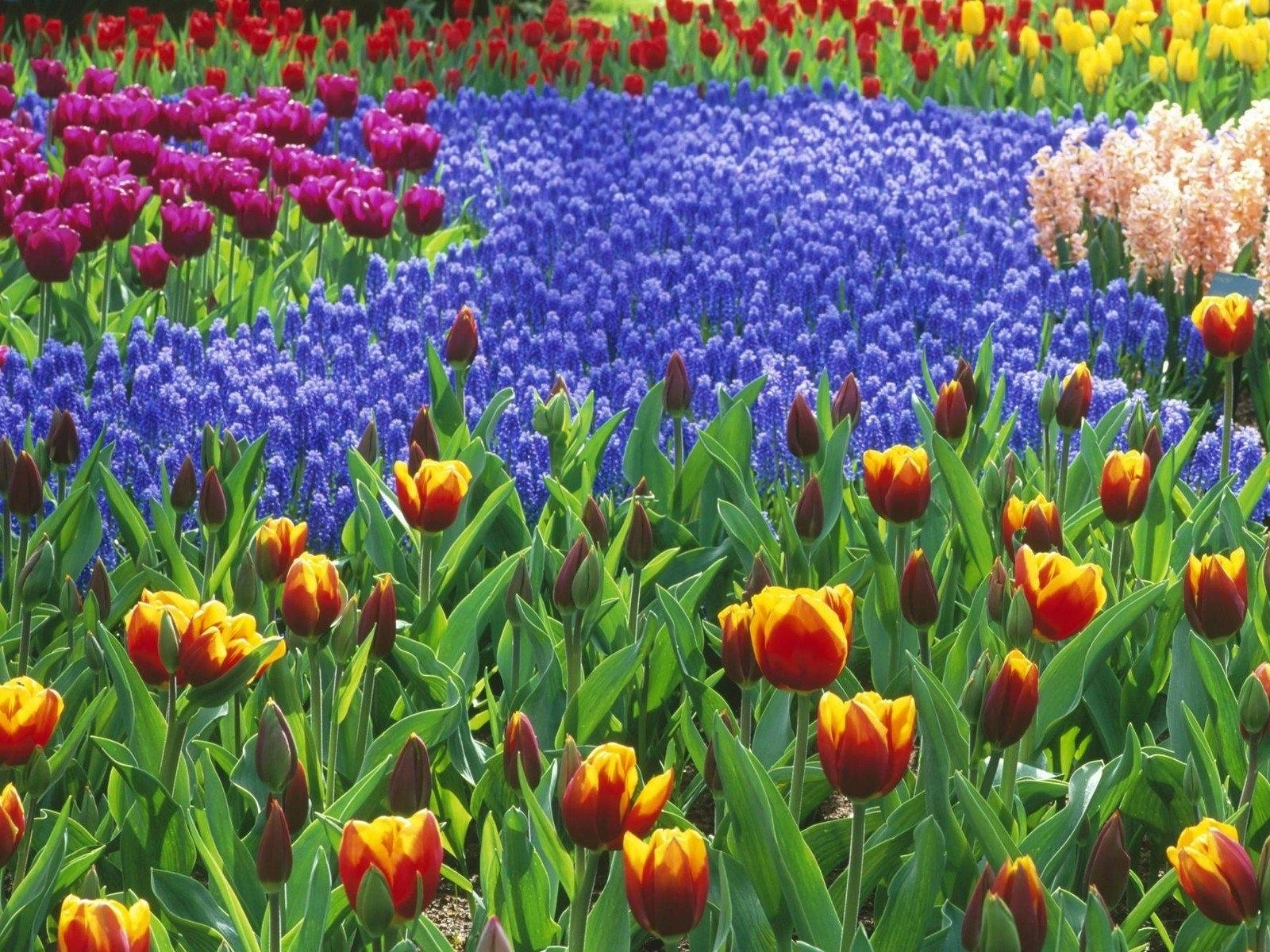 3719 скачать обои Растения, Цветы, Фон, Тюльпаны - заставки и картинки бесплатно