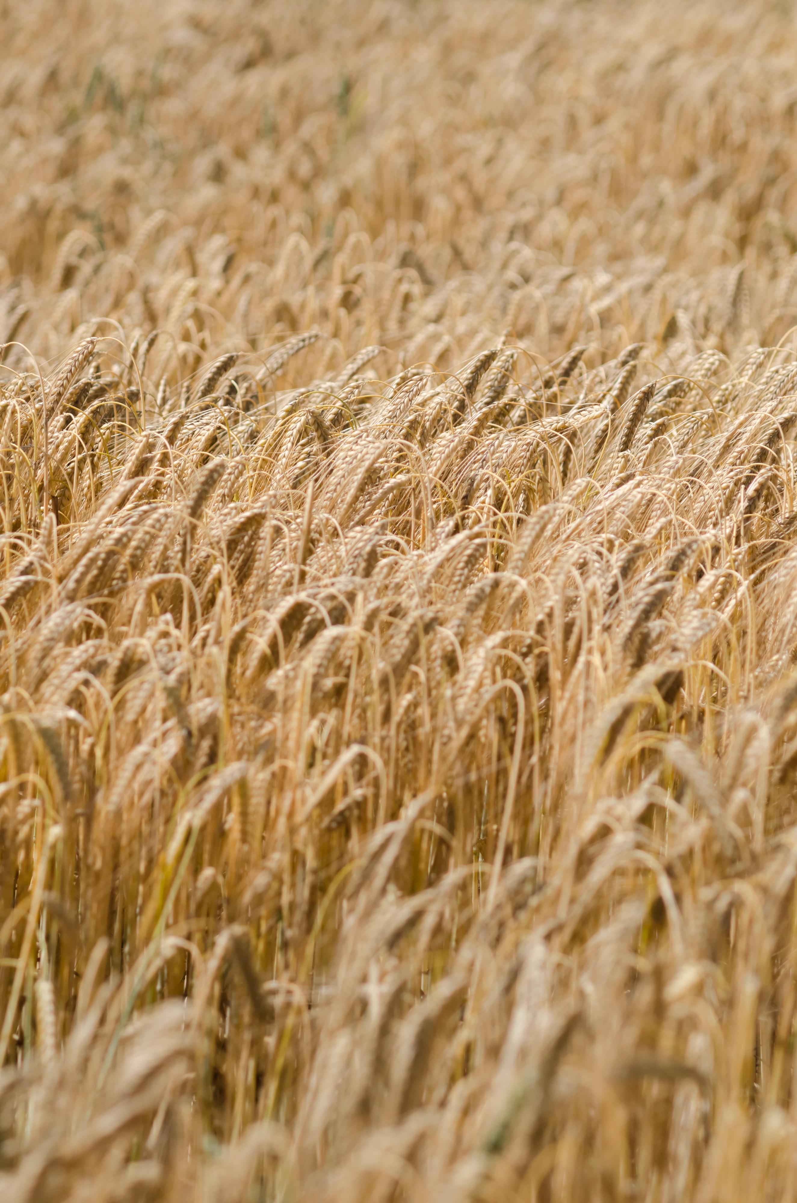 118636 скачать обои Природа, Колосья, Поле, Сухой, Пшеница - заставки и картинки бесплатно