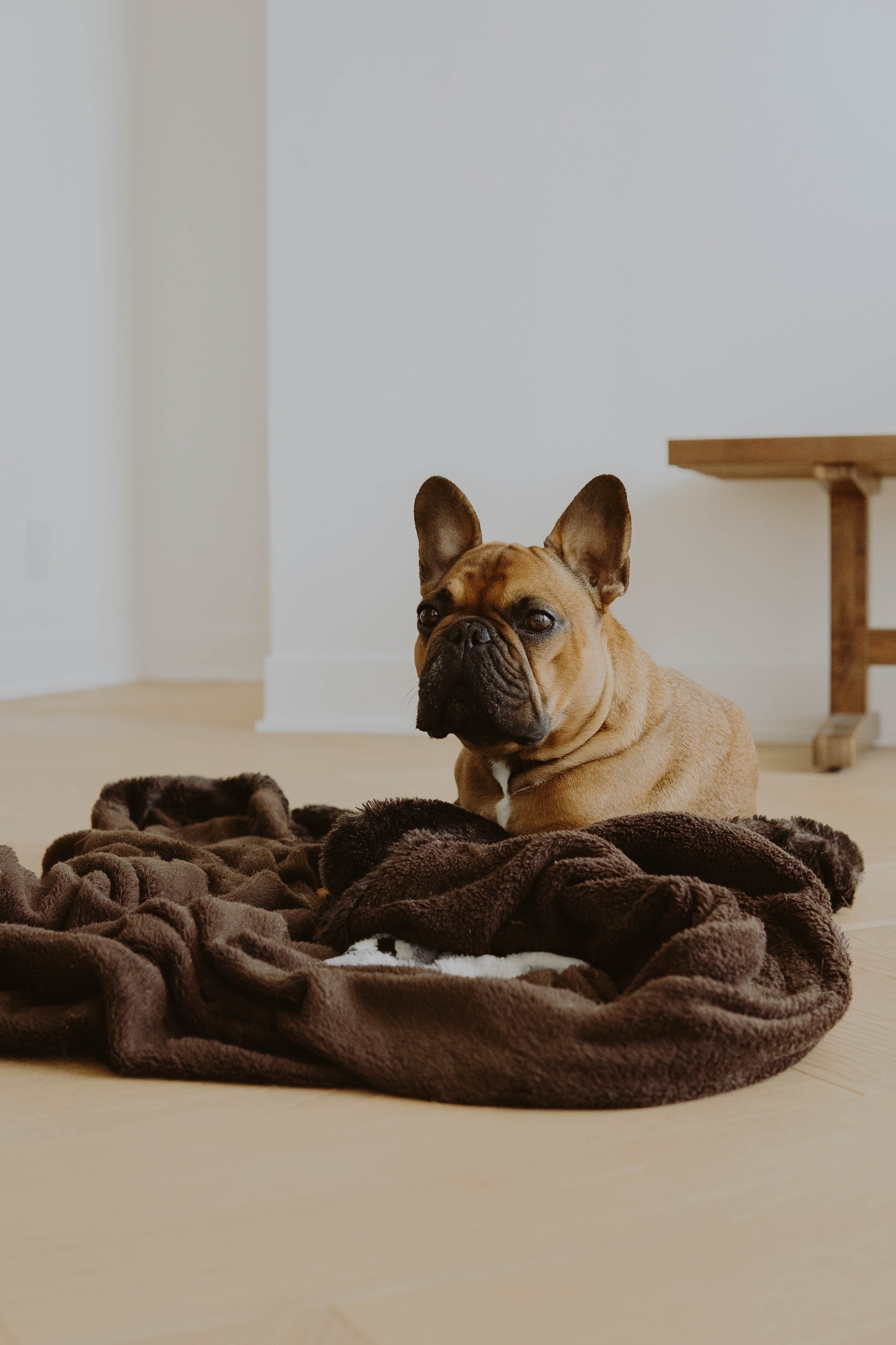 157301 download wallpaper Animals, French Bulldog, Dog, Sight, Opinion, Pet screensavers and pictures for free