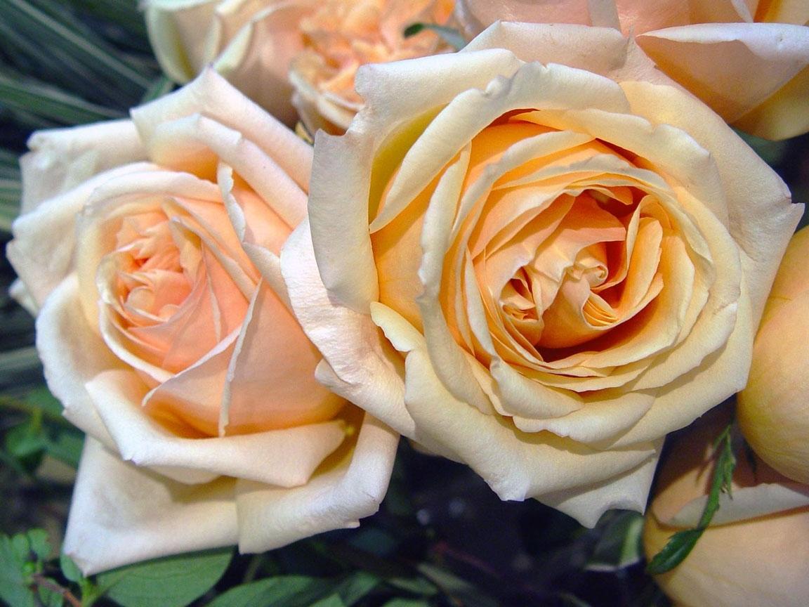 45575 скачать обои Растения, Цветы, Розы - заставки и картинки бесплатно