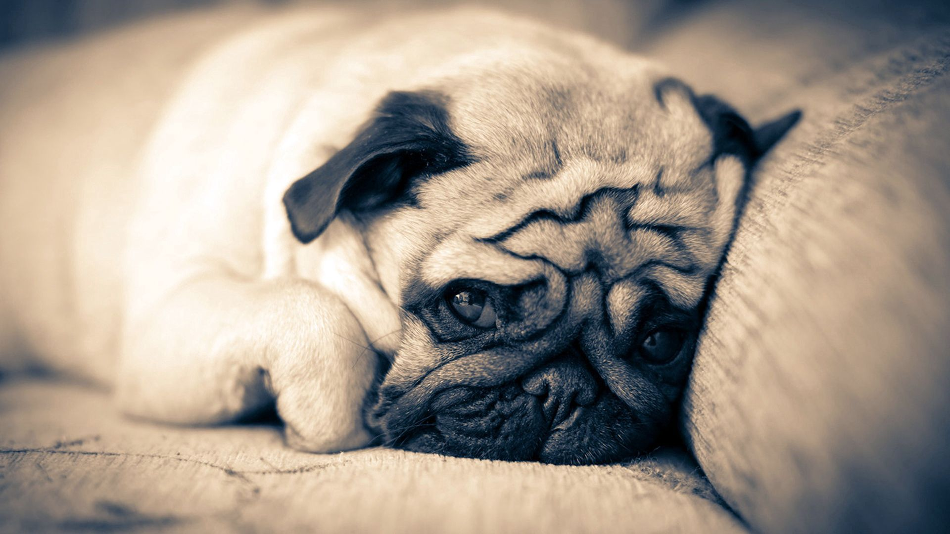 132489 download wallpaper Animals, Pug, To Lie Down, Lie, Sleep, Dream, Muzzle screensavers and pictures for free