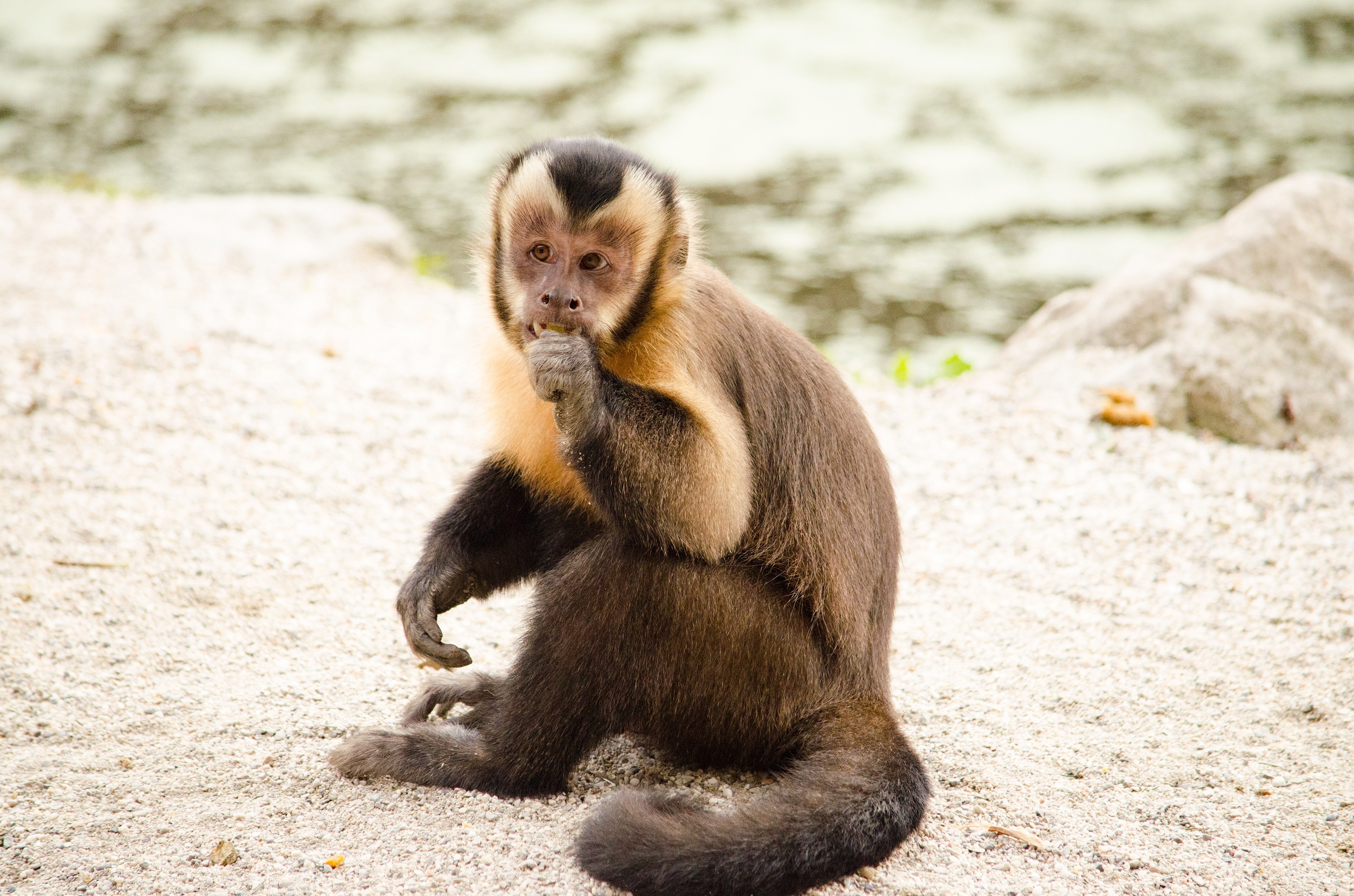 131240 download wallpaper Animals, Capuchin, Monkey, Small, Nice, Sweetheart screensavers and pictures for free