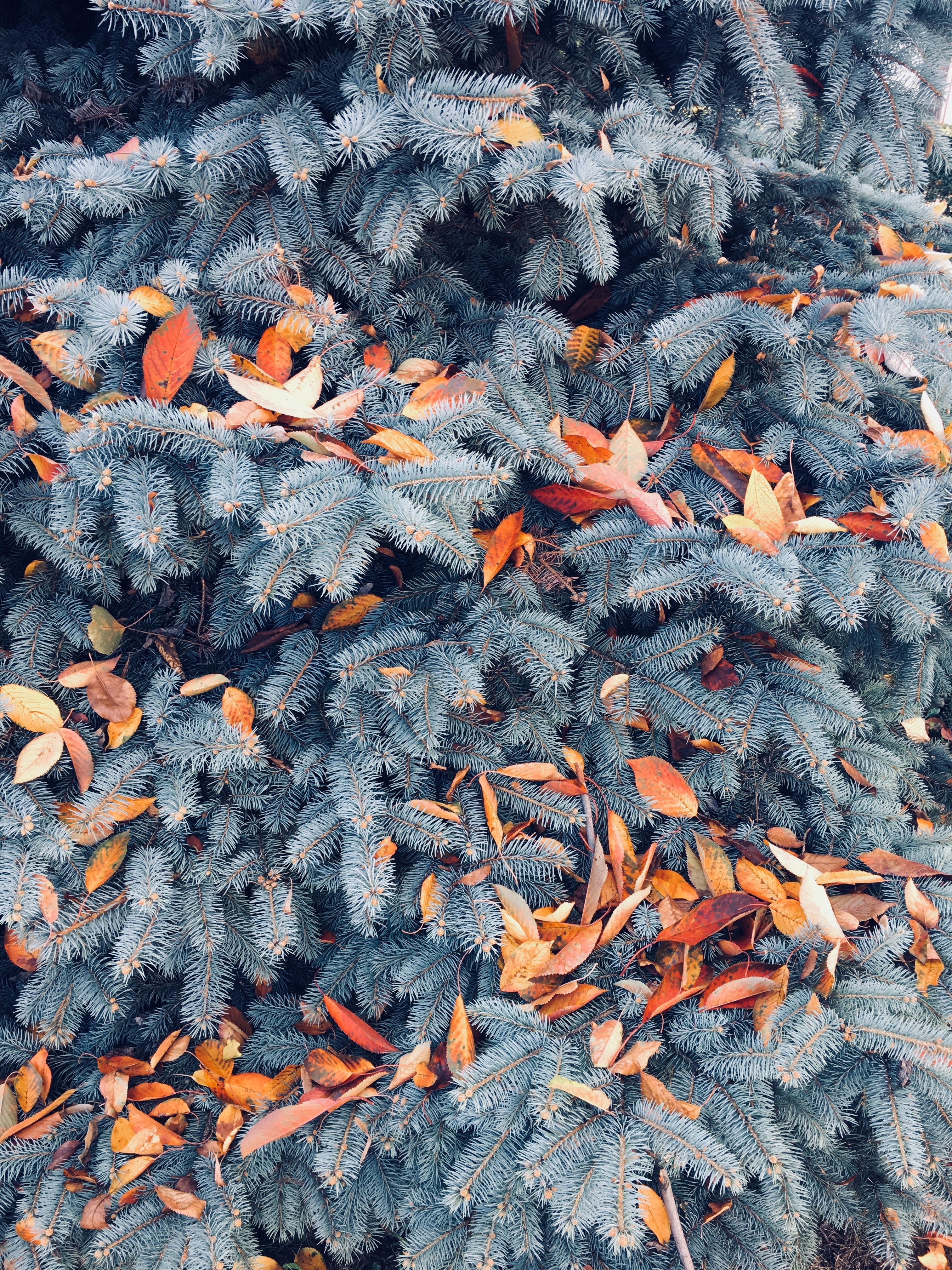 86132 скачать обои Природа, Сосна, Ветки, Листья, Осень - заставки и картинки бесплатно