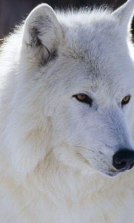 42831 baixar papel de parede Animais, Lobos - protetores de tela e imagens gratuitamente