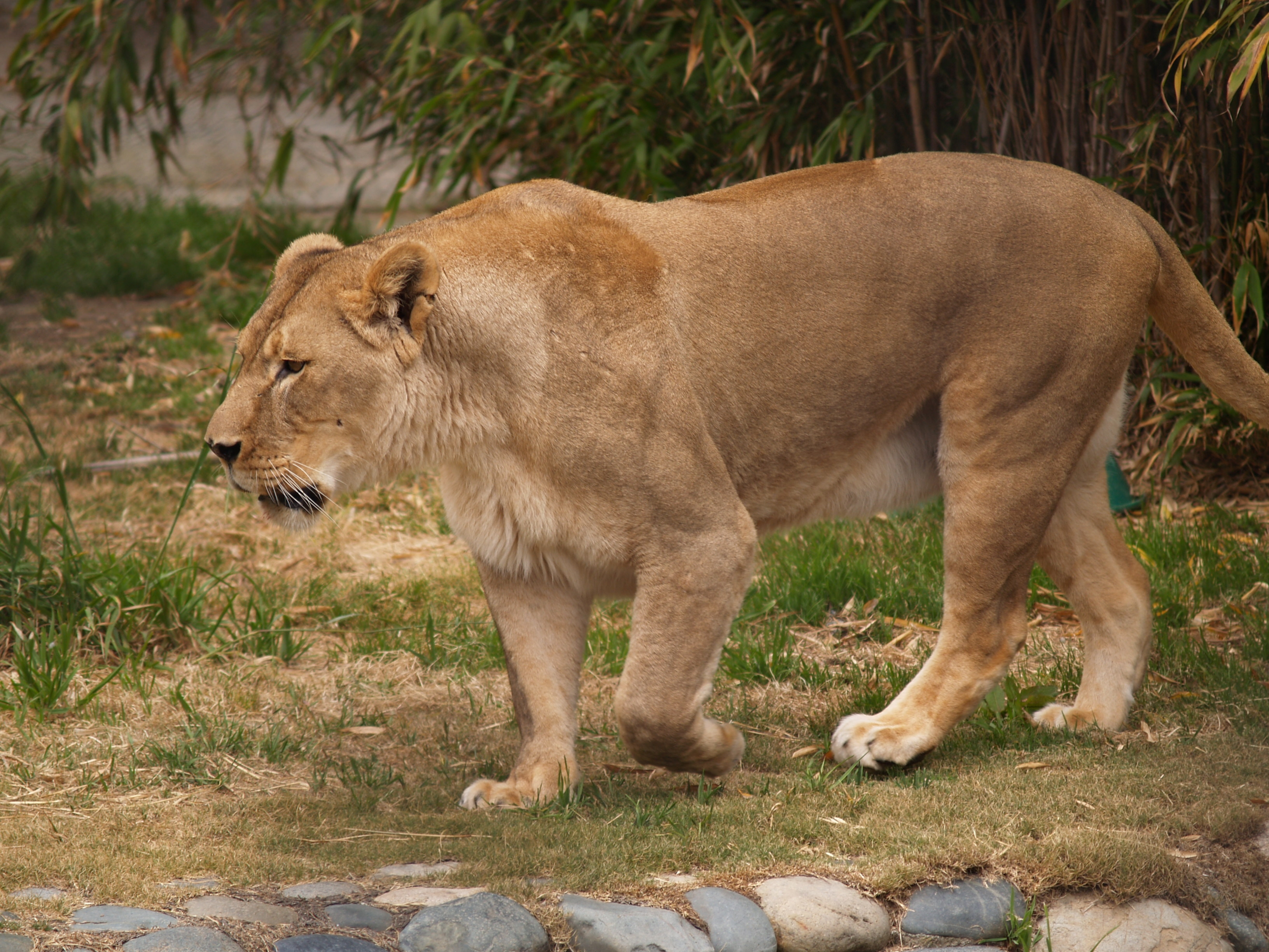 69780 download wallpaper Animals, Lion, Lioness, Stones, Grass, Aggression, Predator, King Of Beasts, King Of The Beasts screensavers and pictures for free