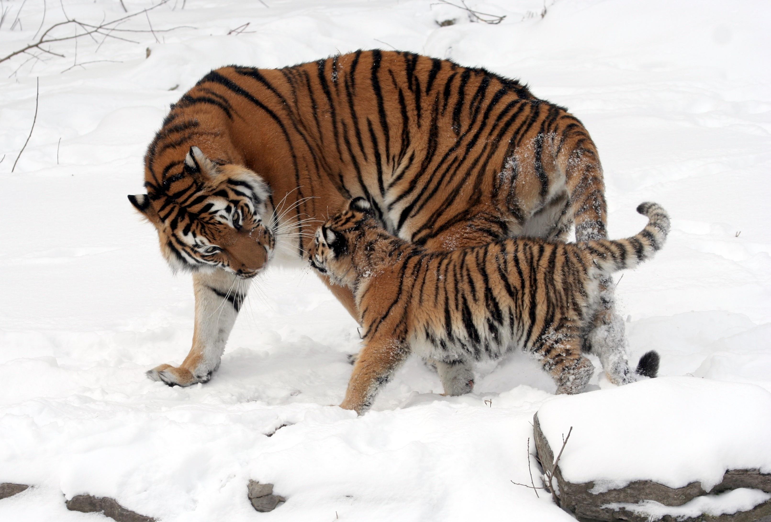 50869壁紙のダウンロード動物, 若い, ジョーイ, 雪, 優しさ, 愛, 散歩, 阪神タイガース-スクリーンセーバーと写真を無料で