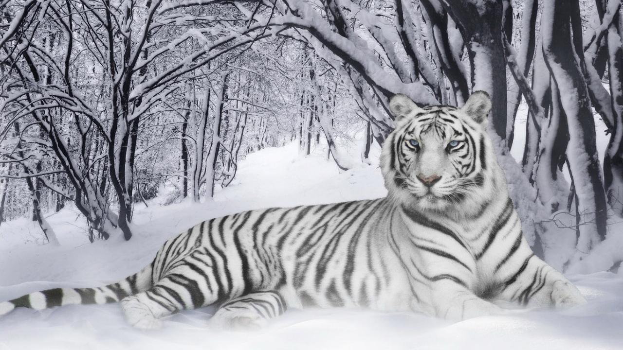 38691 descargar fondo de pantalla Animales, Tigres: protectores de pantalla e imágenes gratis