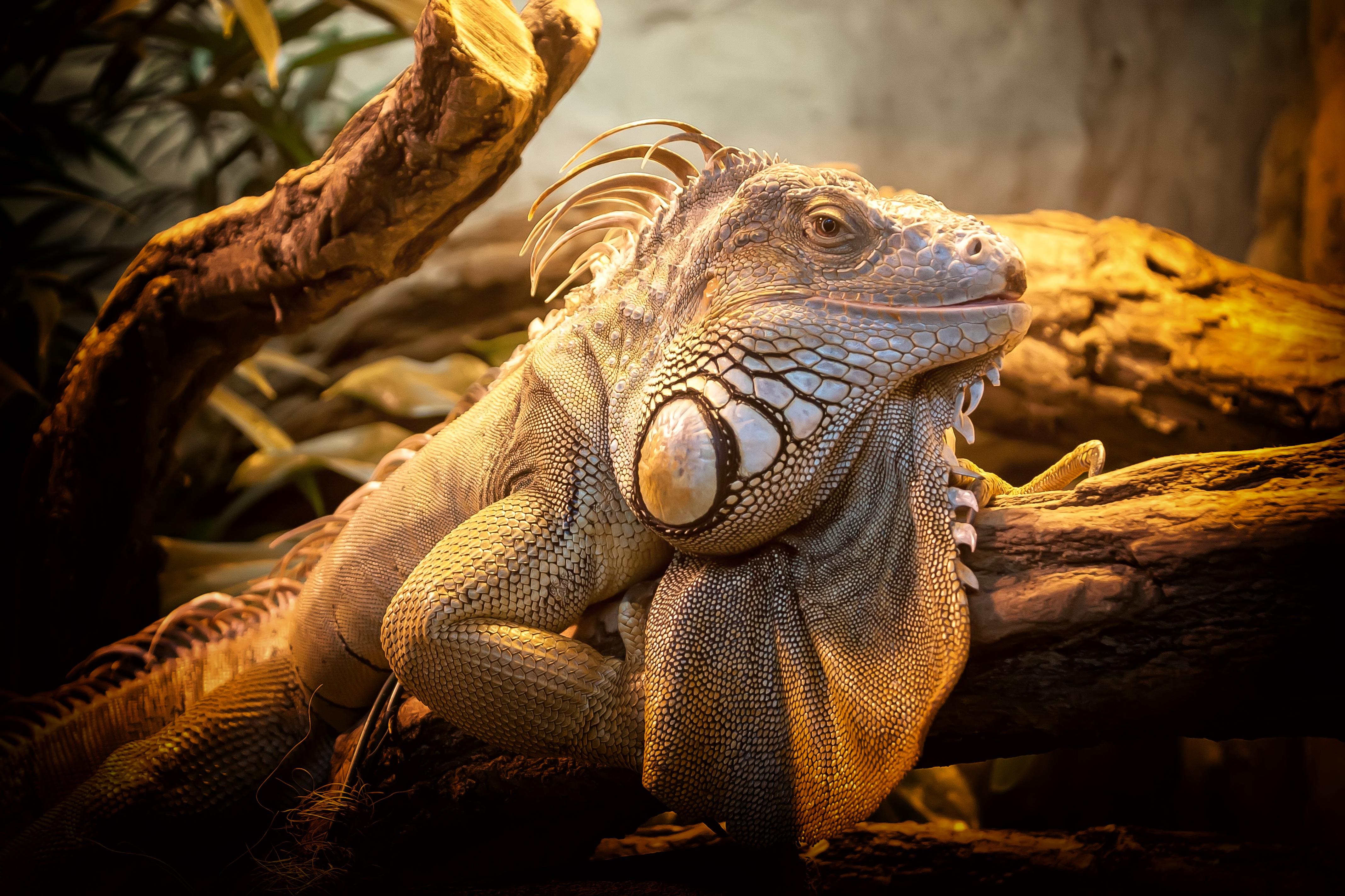 78637 Hintergrundbild herunterladen Tiere, Eidechse, Reptil, Reptile, Groß, Große - Bildschirmschoner und Bilder kostenlos