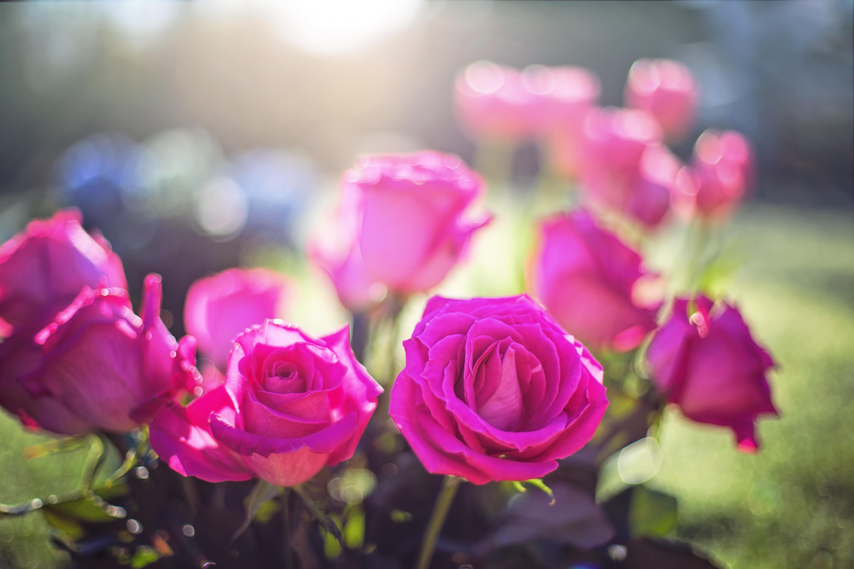 93324 скачать обои Цветы, Бутоны, Свет, Розовый, Розы - заставки и картинки бесплатно