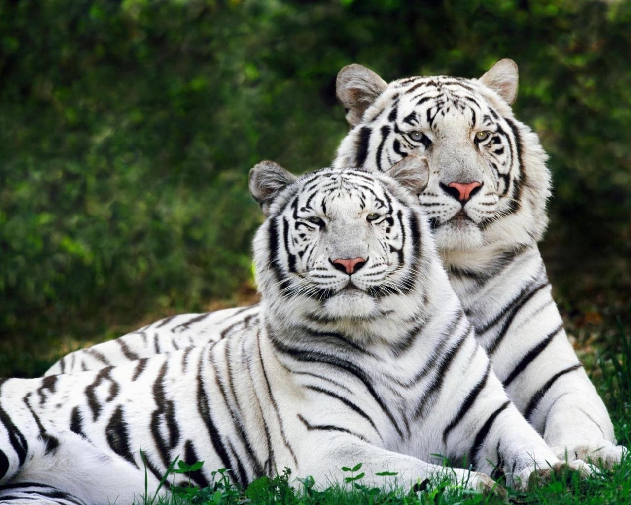 2285 download wallpaper Animals, Tigers screensavers and pictures for free
