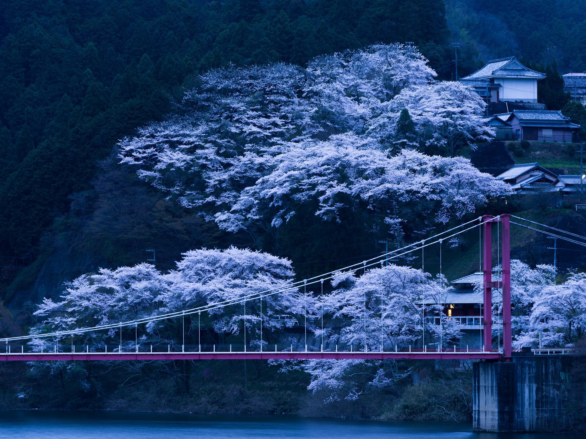 105626 Screensavers and Wallpapers Sakura for phone. Download Nature, Night, Sakura, Bridge, Japan pictures for free