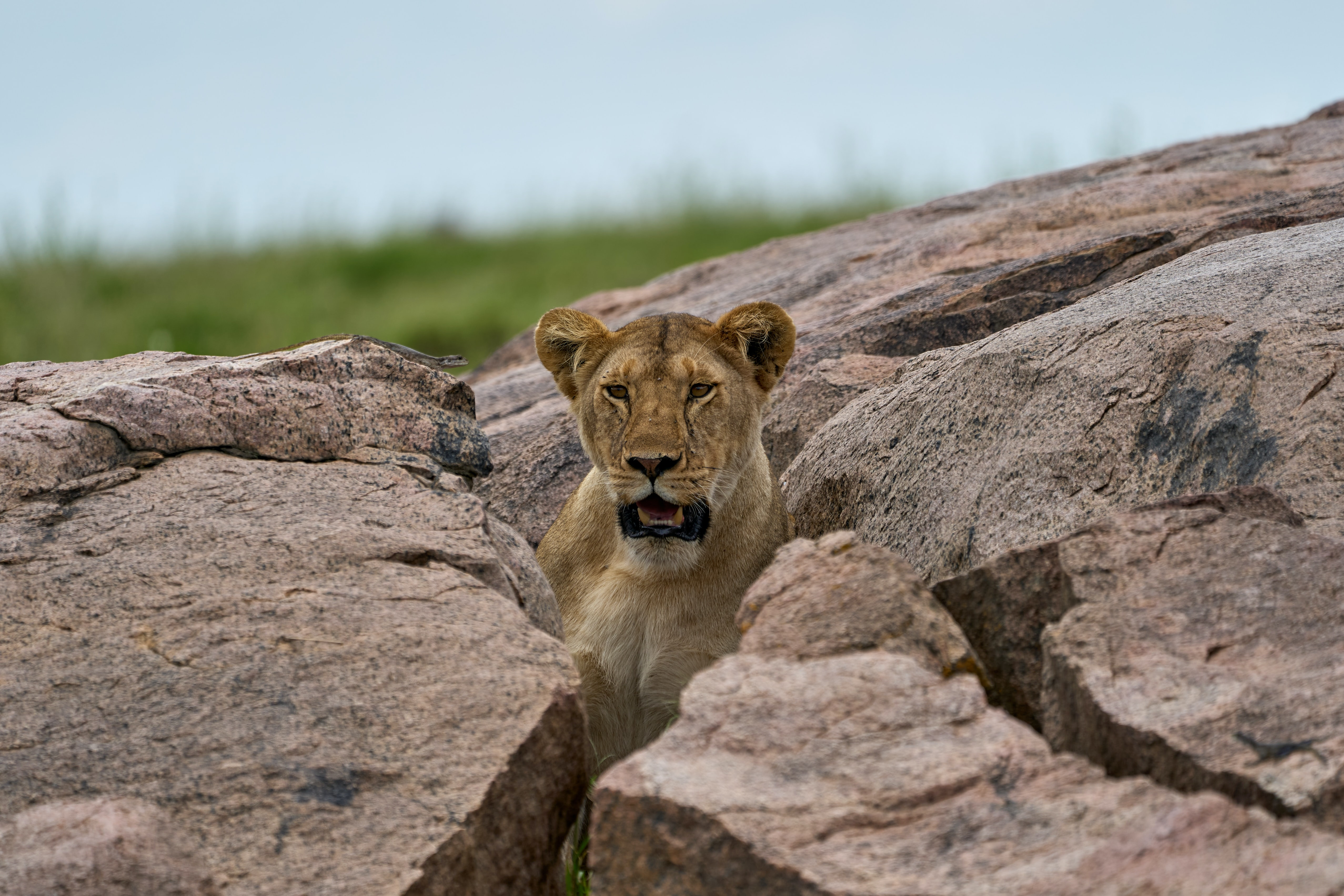 118569 download wallpaper Animals, Lioness, Predator, Stones, Wildlife screensavers and pictures for free