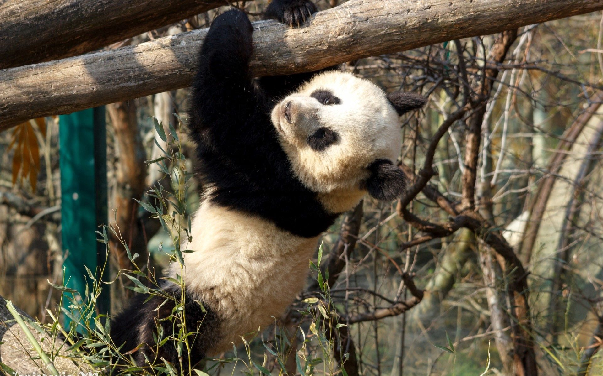 112827 download wallpaper Animals, Panda, Branches, Hang, Teddy Bear, Bear Cub screensavers and pictures for free