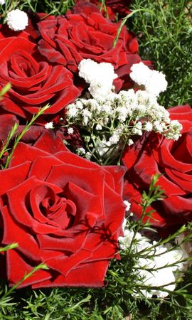 5197 télécharger le fond d'écran Plantes, Fleurs, Roses - économiseurs d'écran et images gratuitement