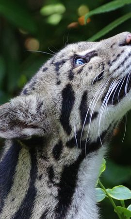 138159 download wallpaper Animals, Clouded Leopard, Smoky Leopard, Wild Cat, Wildcat, Muzzle, Spotted, Spotty screensavers and pictures for free