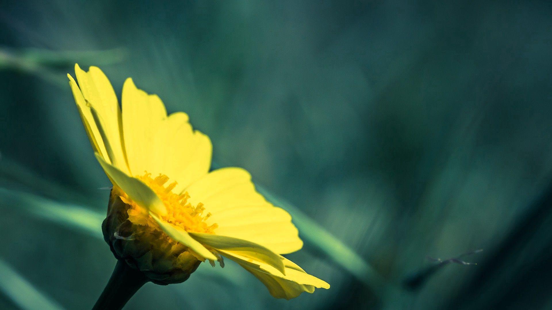 152703 скачать обои Макро, Цветок, Лепестки, Фон, Смазано - заставки и картинки бесплатно