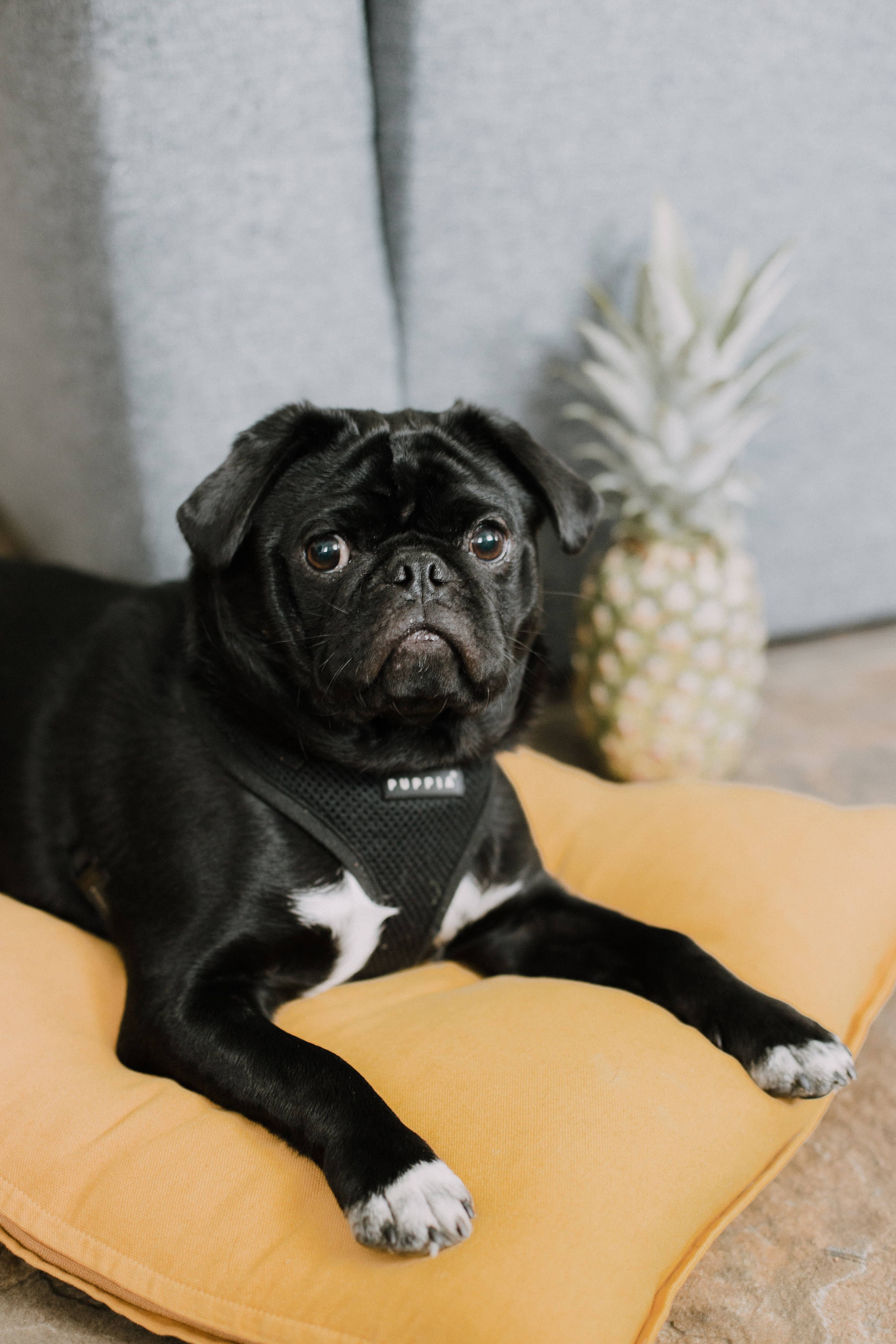 67256 download wallpaper Animals, Pug, Funny, Dog, Muzzle, Pet screensavers and pictures for free