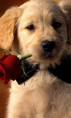 13262 download wallpaper Holidays, Animals, Dogs, Roses screensavers and pictures for free
