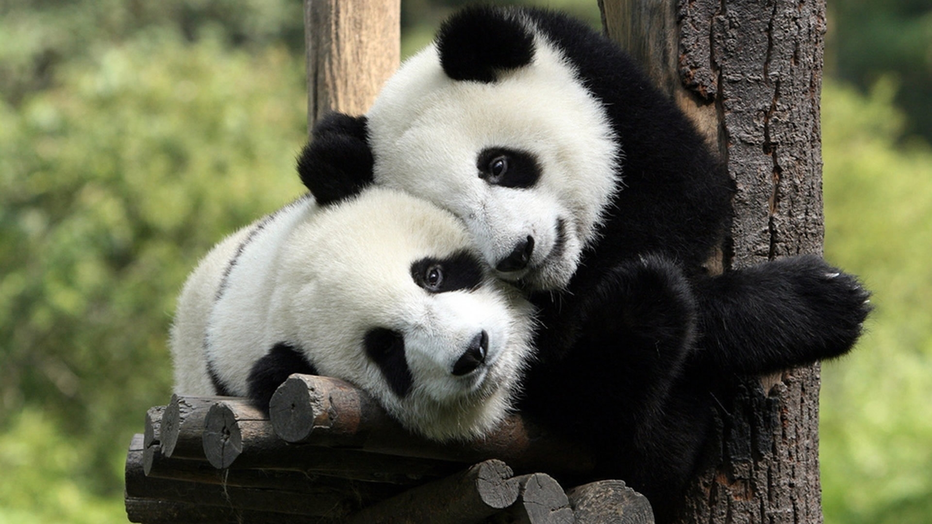 39276 download wallpaper Animals, Pandas screensavers and pictures for free