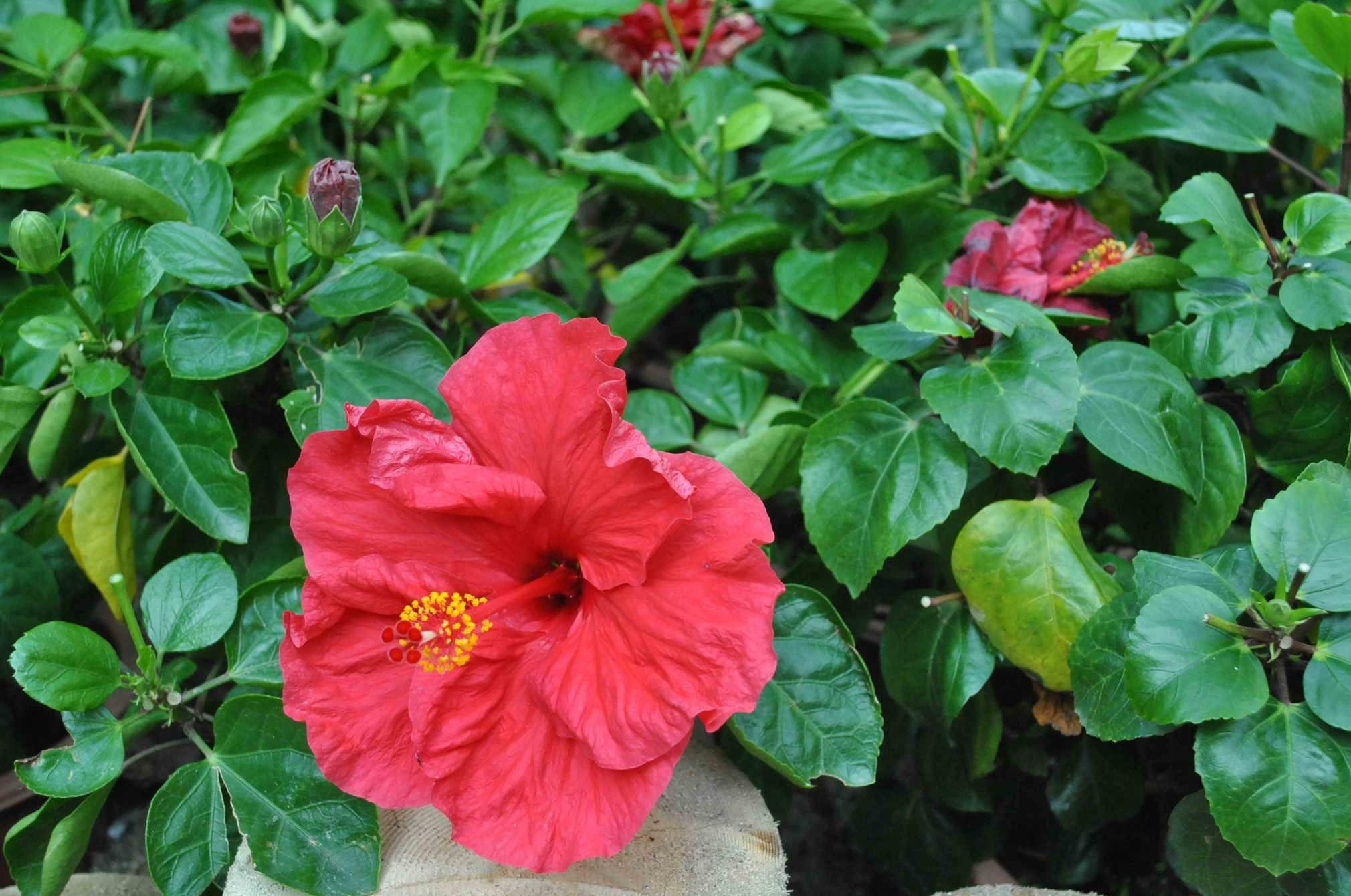 132633 download wallpaper Flowers, Hibiscus, Bloom, Flowering, Buds, Greens, Leaves screensavers and pictures for free