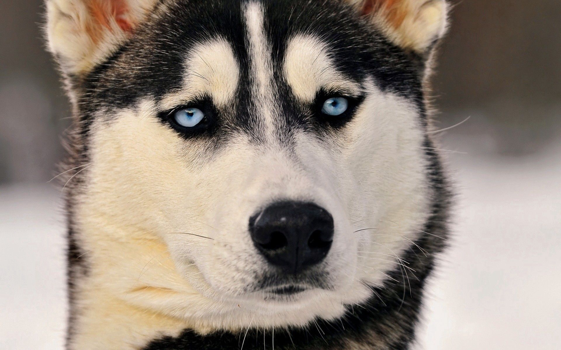 60989 Screensavers and Wallpapers Husky for phone. Download Animals, Dog, Muzzle, Sight, Opinion, Husky, Haska, Blue Eyed, Blue-Eyed pictures for free