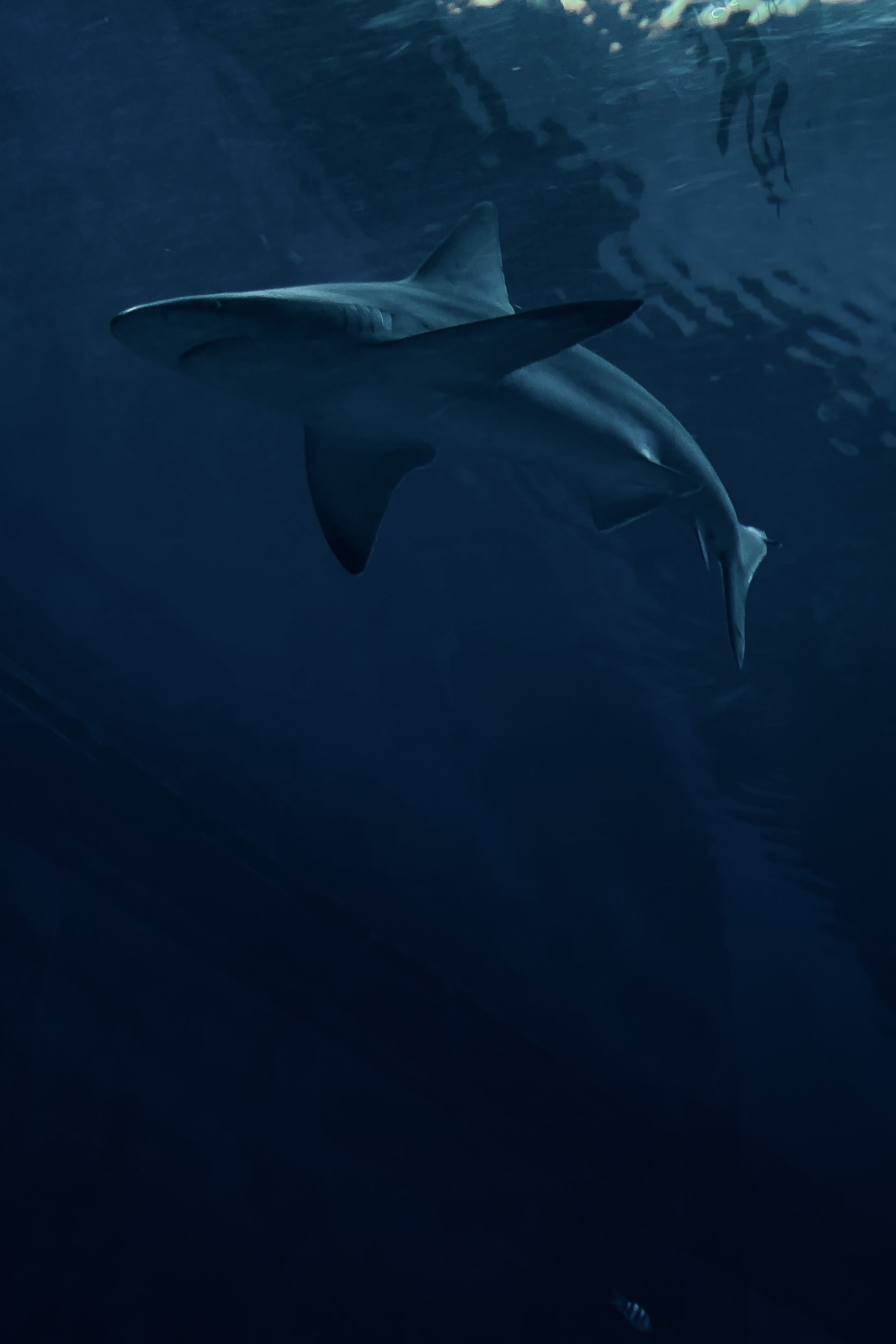 99740 скачать обои Темные, Акула, Хищник, Рыба, Темный - заставки и картинки бесплатно