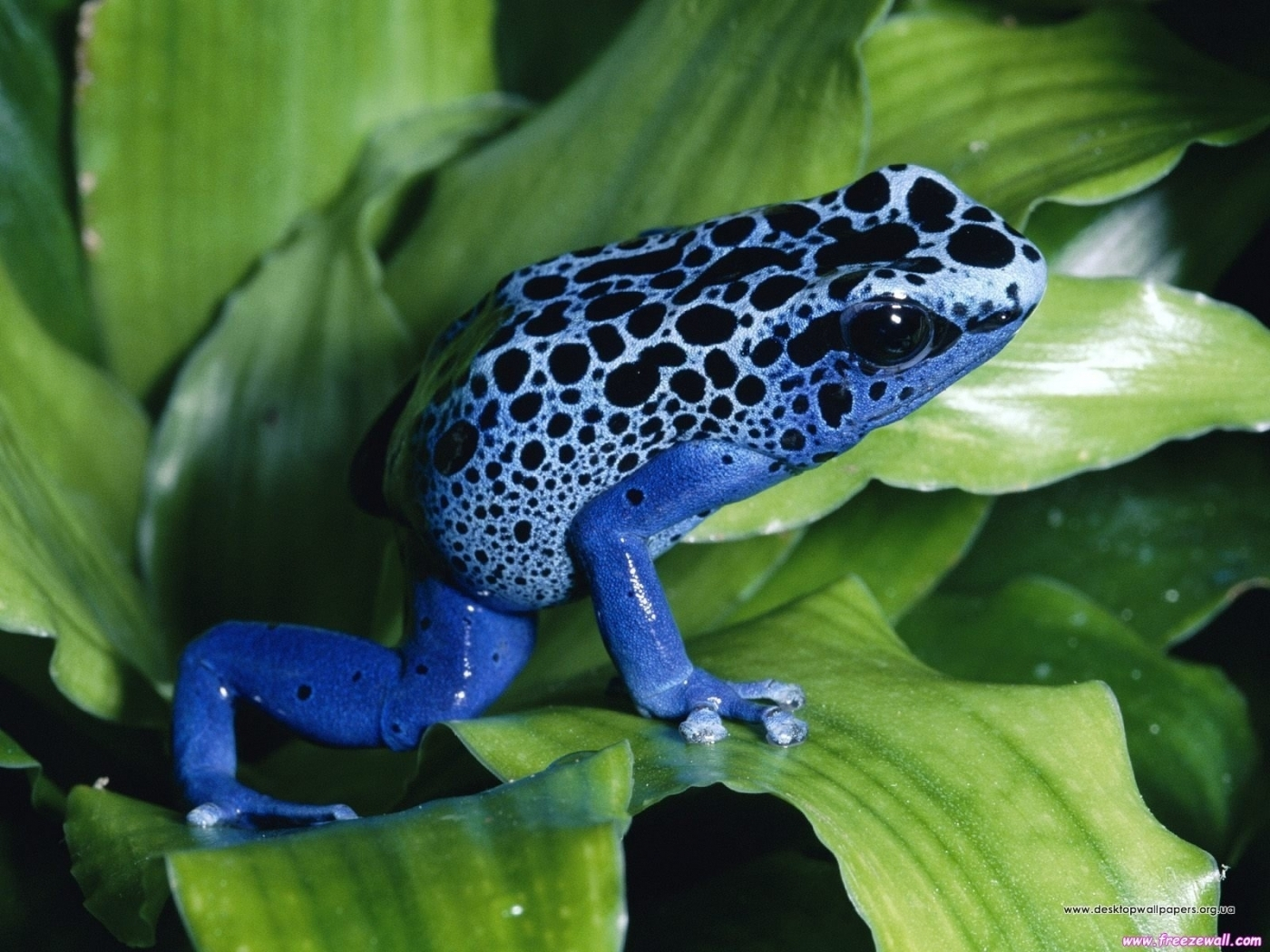 28600 download wallpaper Animals, Frogs screensavers and pictures for free