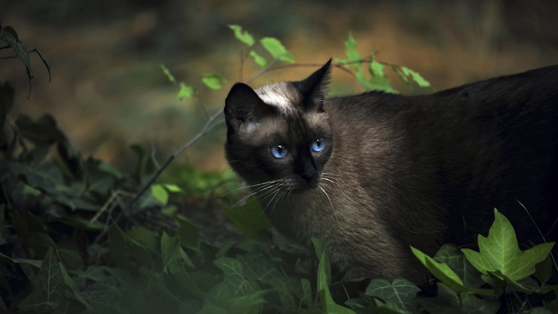 99967 download wallpaper Animals, Cat, Siamese, Grass, Blue Eyed, Blue-Eyed screensavers and pictures for free