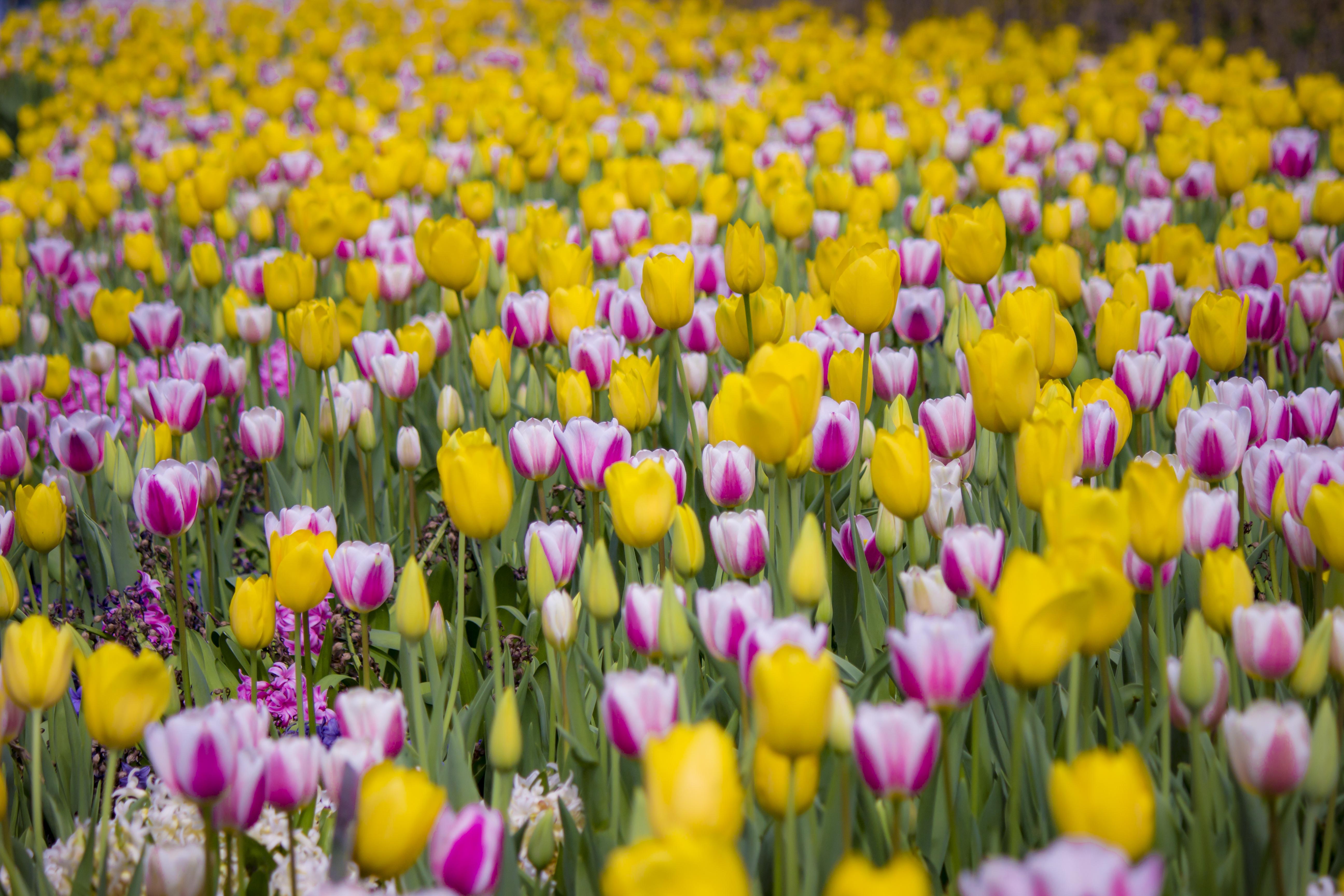 Скачать картинку Тюльпаны, Цветы, Цветение, Поле в телефон бесплатно.