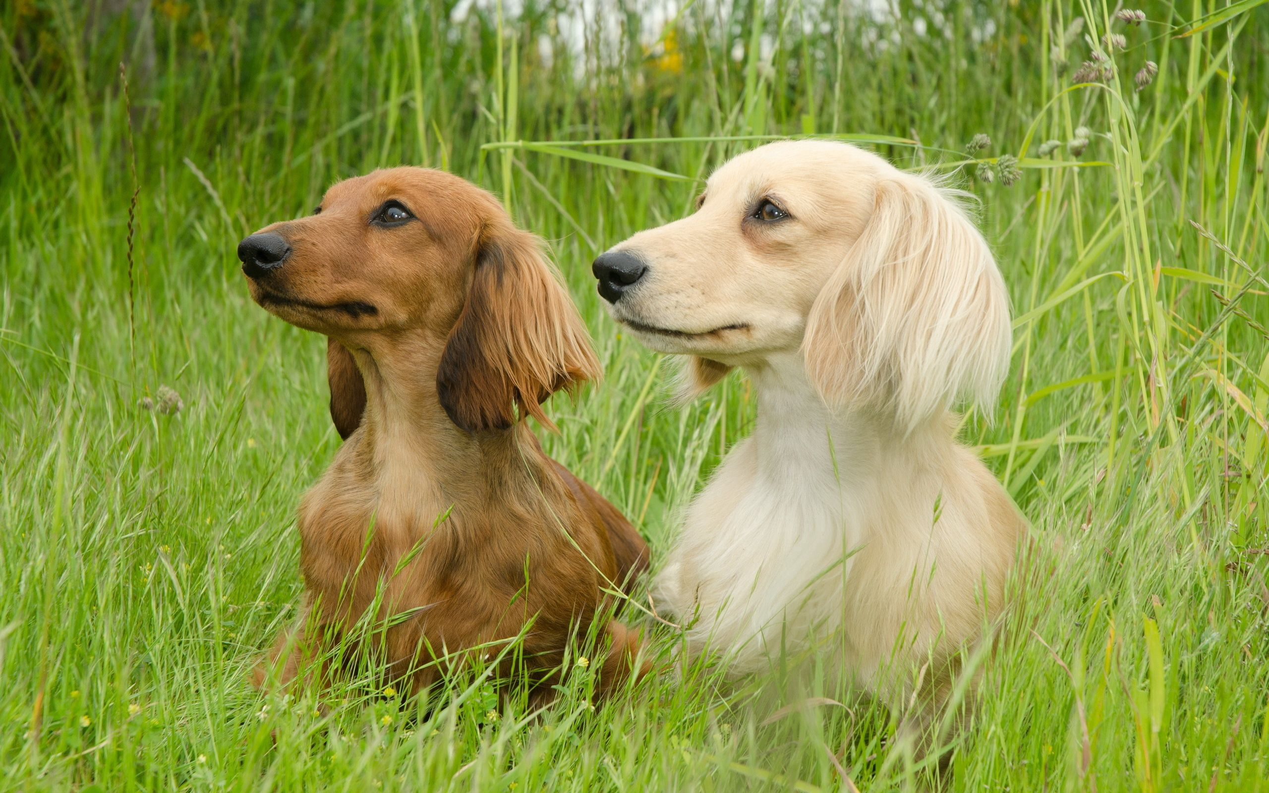 122847 download wallpaper Animals, Dogs, Dachshund, Grass, Stroll, Couple, Pair, Fluffy screensavers and pictures for free