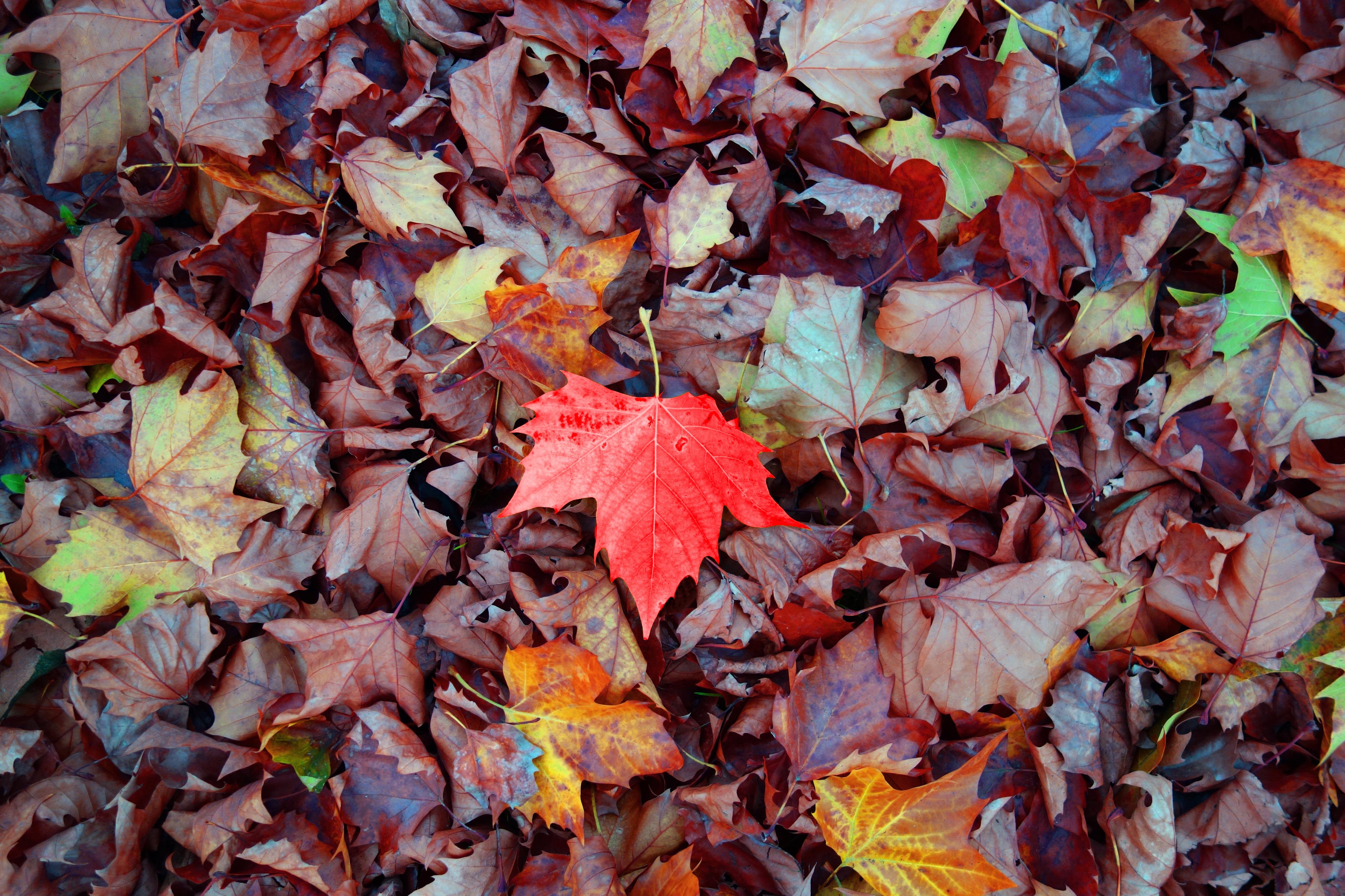101506 скачать обои Природа, Клен, Осень, Листья, Опавший - заставки и картинки бесплатно