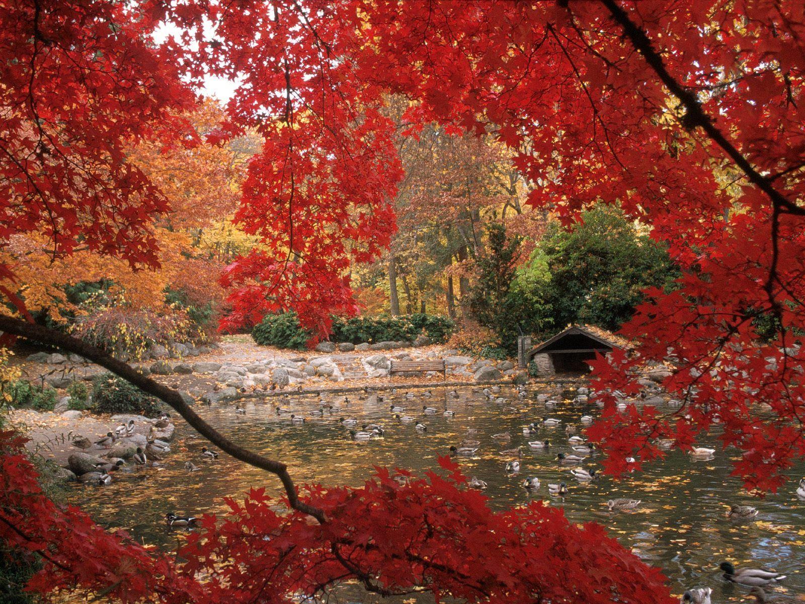 129770 скачать обои Природа, Птицы, Деревья, Утки, Пруд - заставки и картинки бесплатно