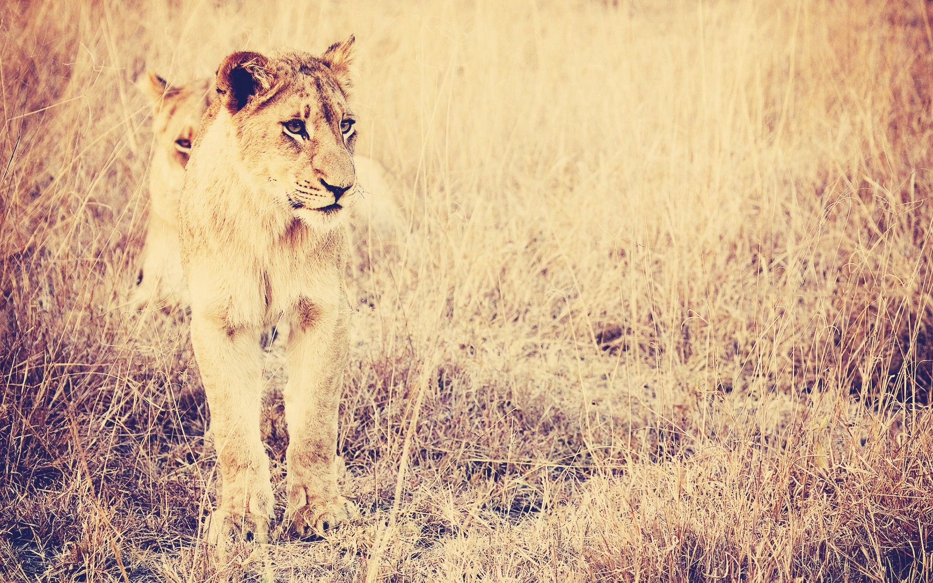 86911 download wallpaper Animals, Lion, Big Cat, Predator, Grass screensavers and pictures for free