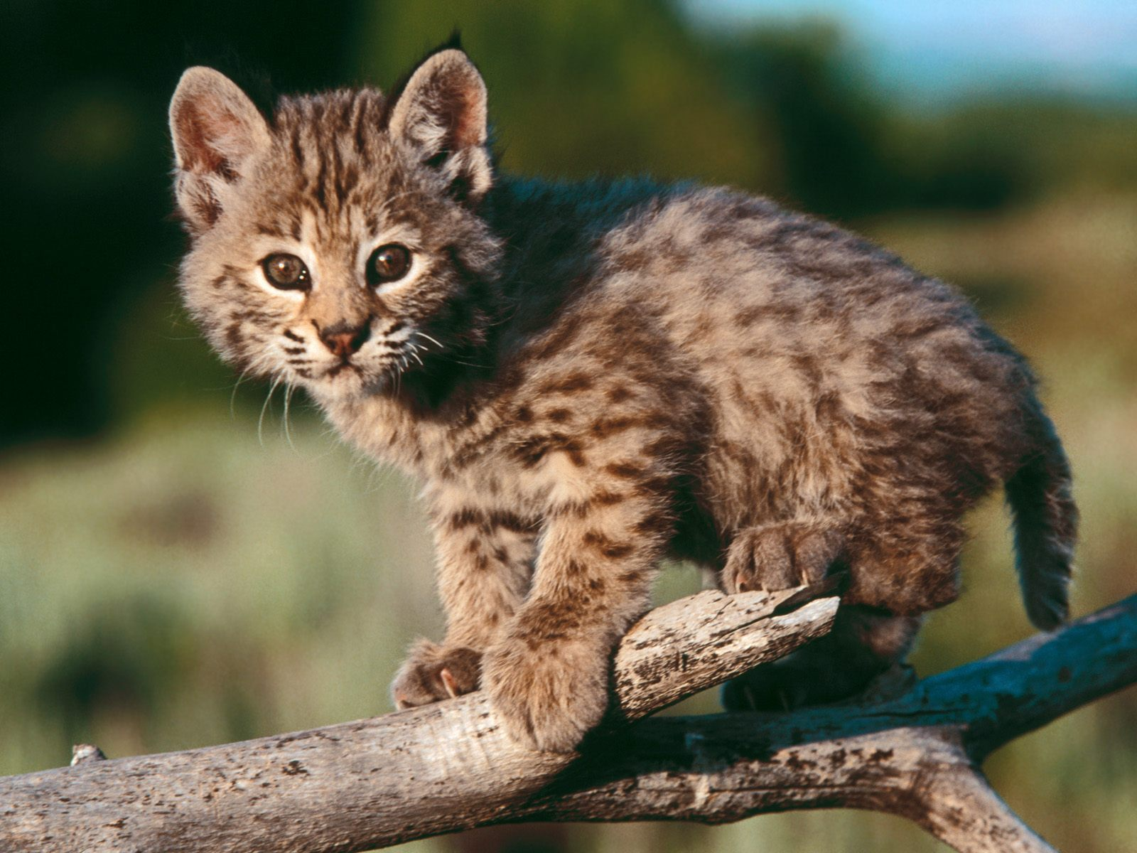 5924 download wallpaper Animals, Bobcats screensavers and pictures for free