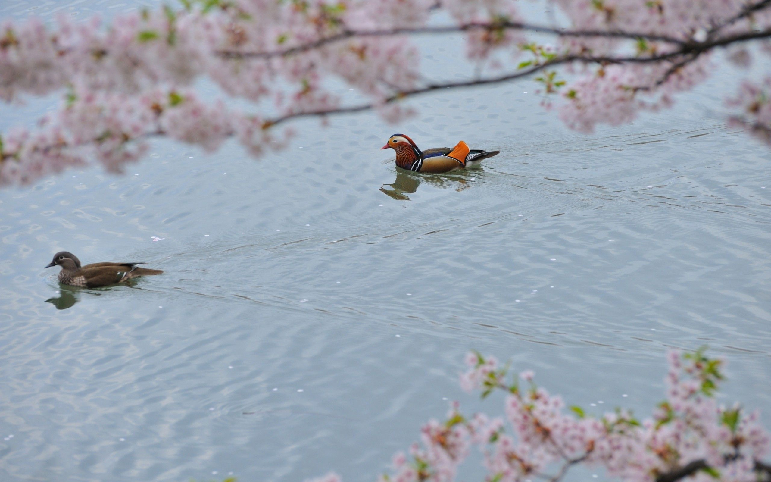 102234 download wallpaper Animals, Mandarin Duck, To Swim, Swim, Water, Trees, Flowers screensavers and pictures for free