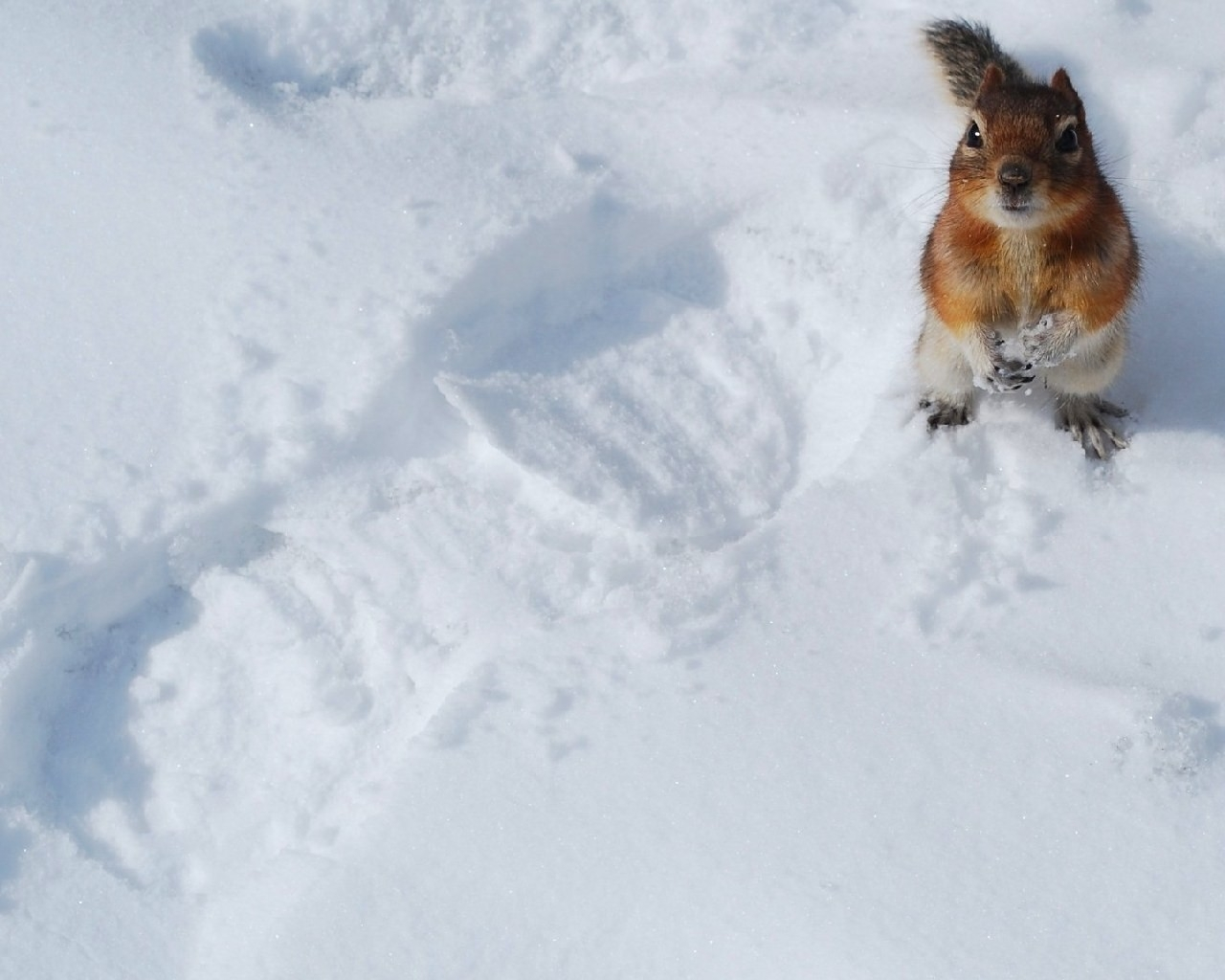 7935 download wallpaper Animals, Winter, Squirrel, Snow screensavers and pictures for free
