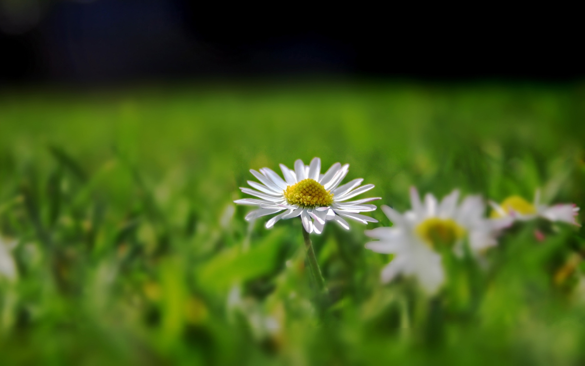 48420 download wallpaper Plants, Flowers, Camomile screensavers and pictures for free