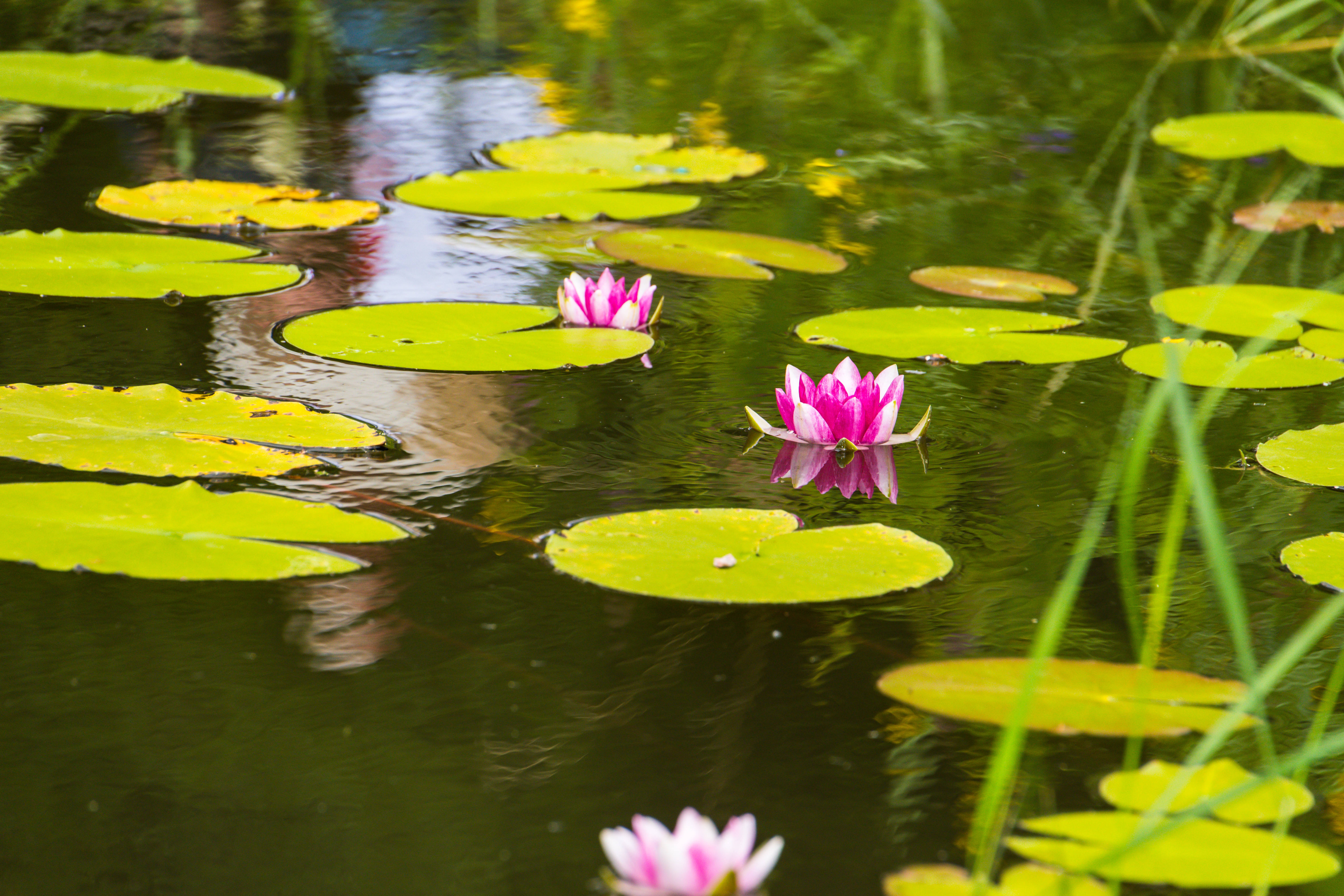 52253 download wallpaper Flowers, Water, Leaves, Lotus, Basin screensavers and pictures for free