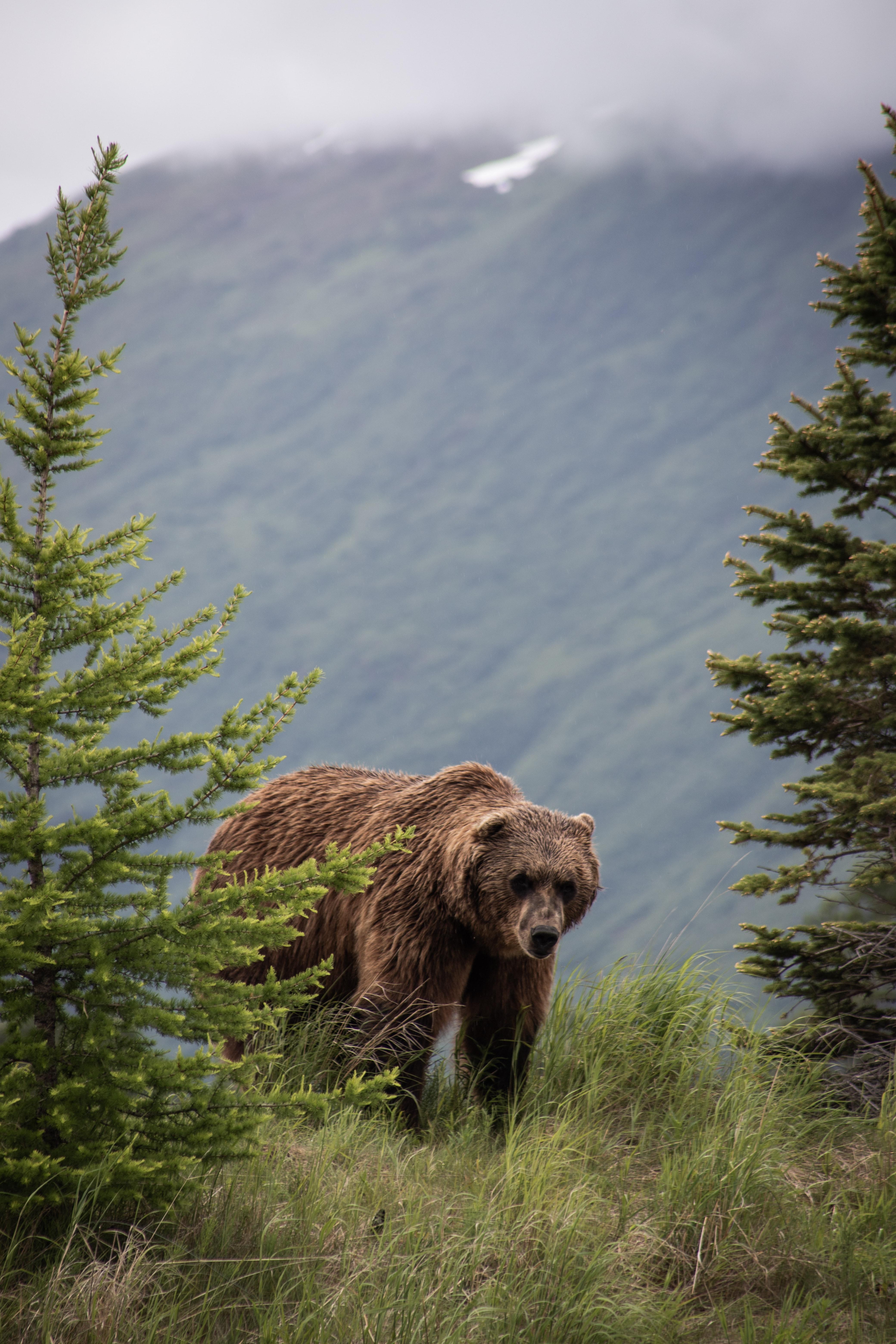 131978 Заставки и Обои Медведи на телефон. Скачать Медведи, Бурый Медведь, Животные, Деревья, Трава, Хищник картинки бесплатно