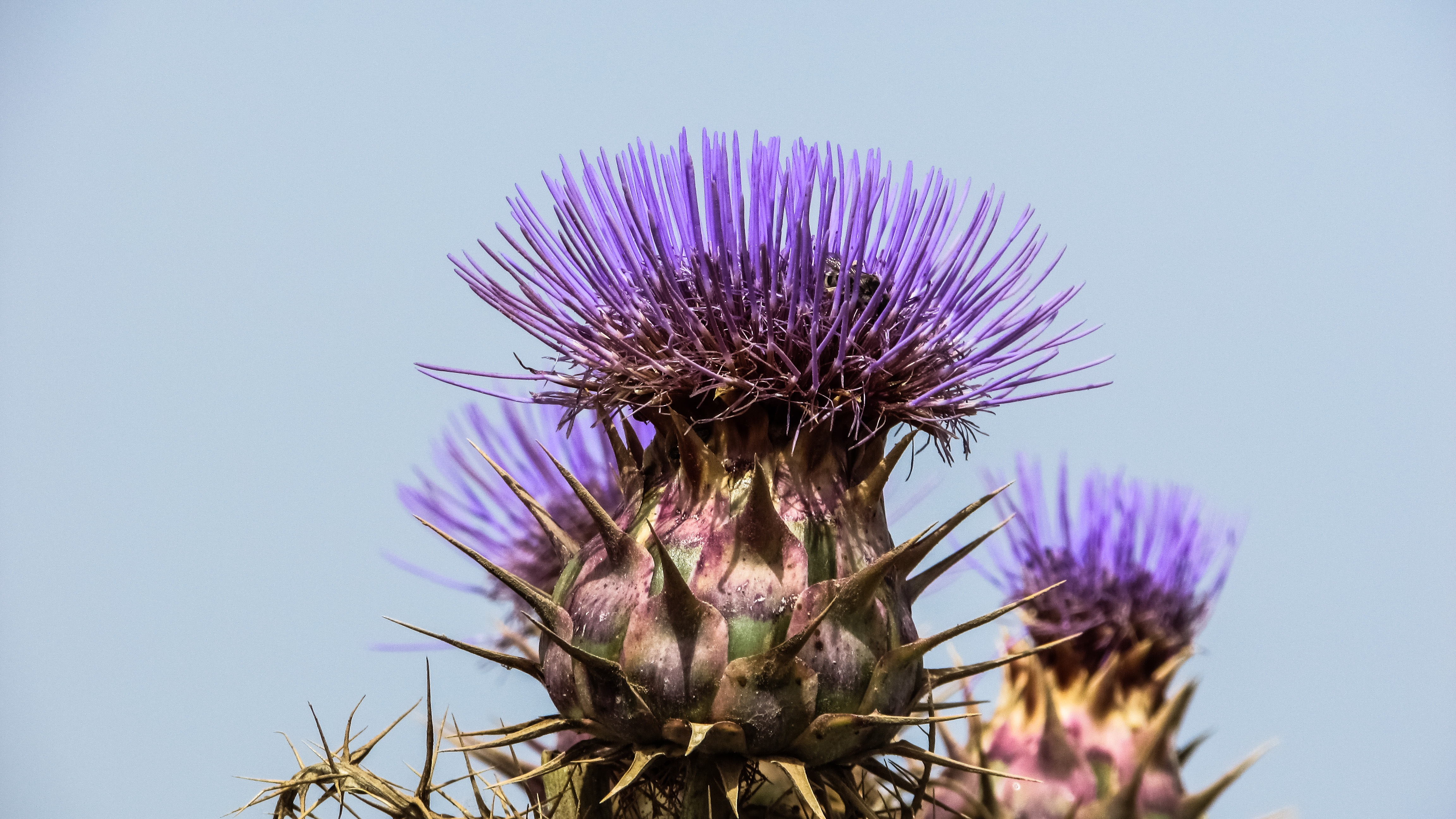 90612 Screensavers and Wallpapers Plant for phone. Download Flowers, Flower, Plant, Spanish Artichoke pictures for free