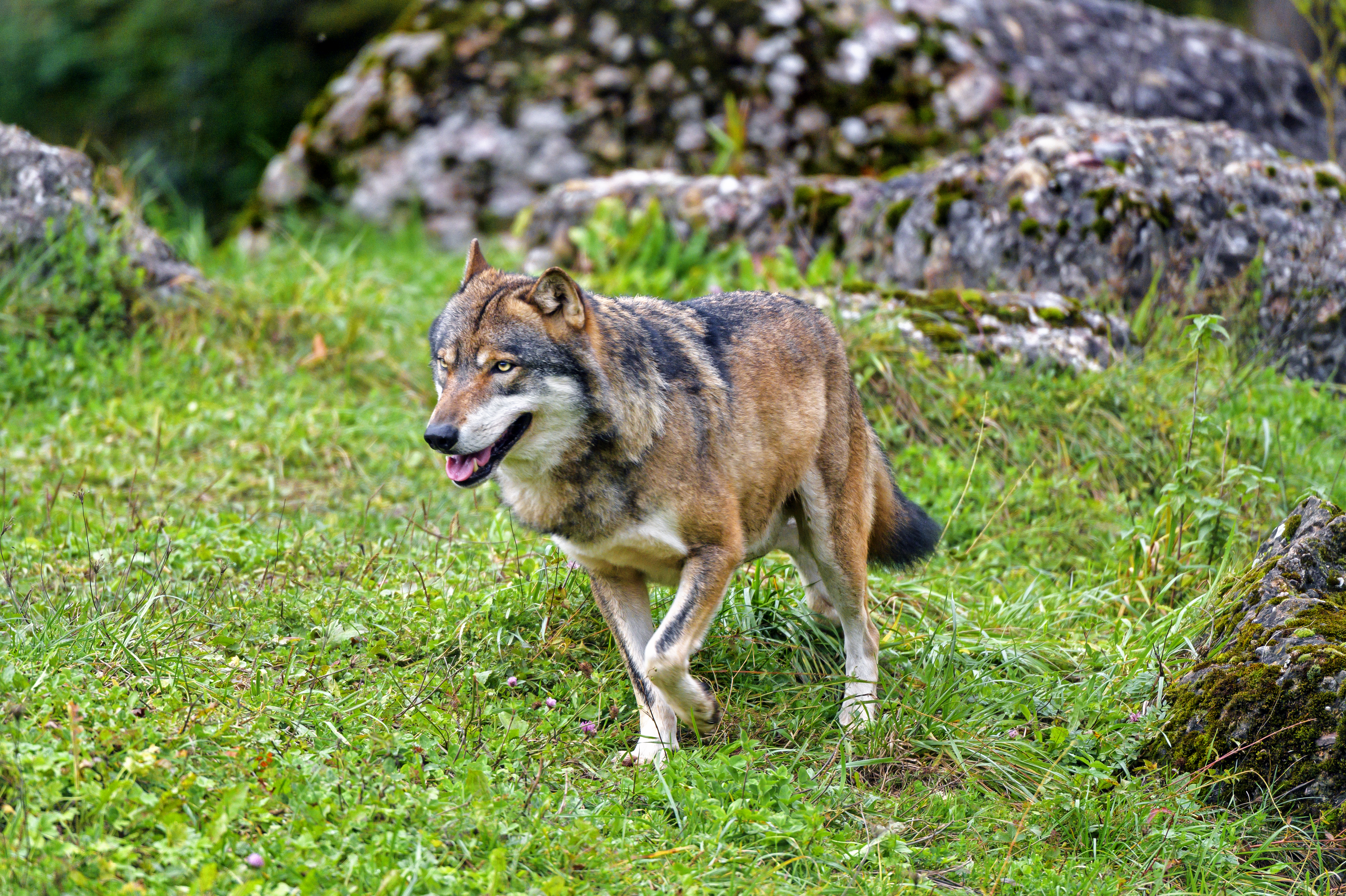 149993 download wallpaper Animals, Wolf, Predator, Animal, Wildlife screensavers and pictures for free