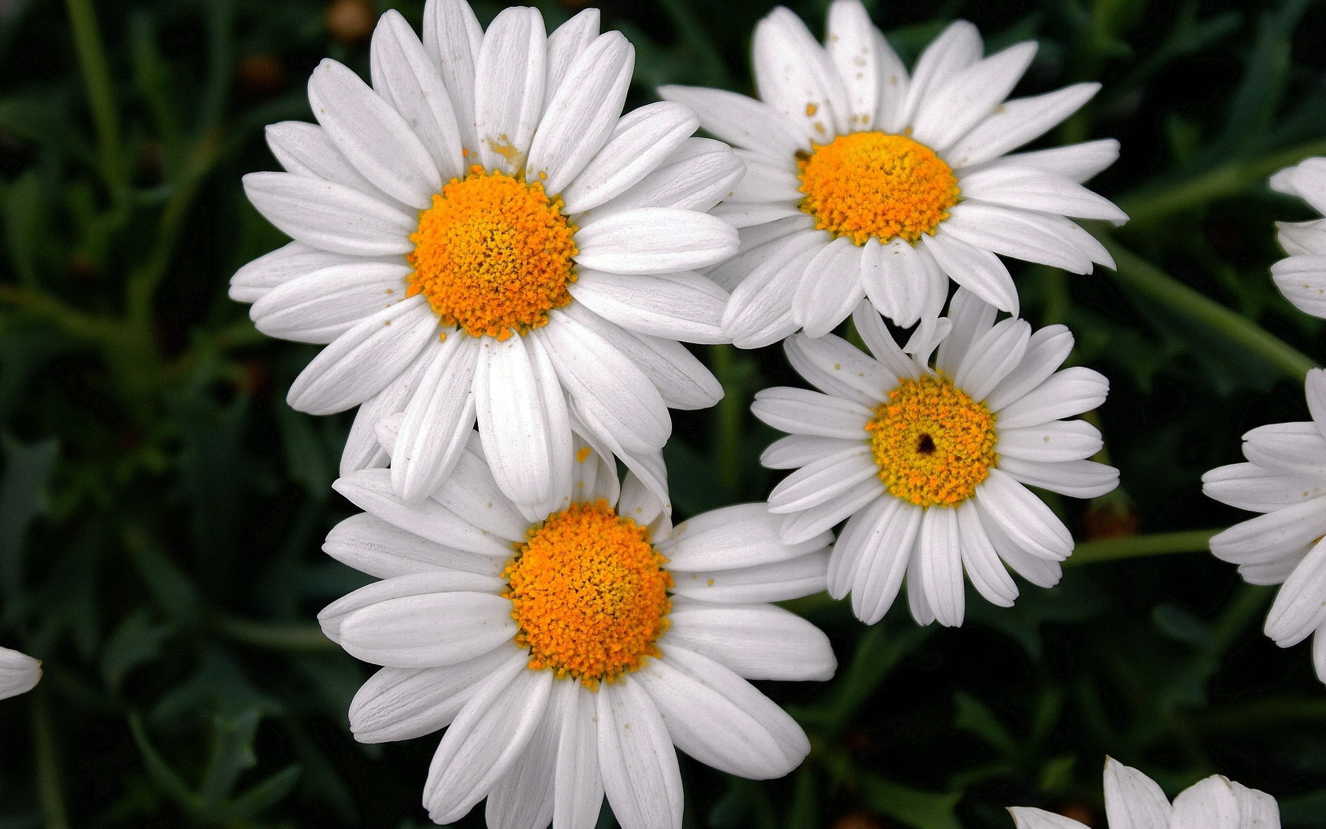 42445 download wallpaper Plants, Flowers, Camomile screensavers and pictures for free