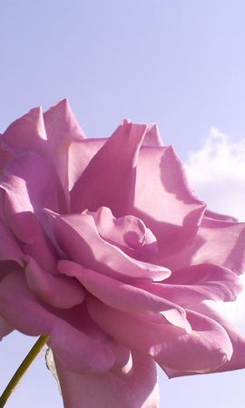 2450 скачать обои Растения, Розы - заставки и картинки бесплатно