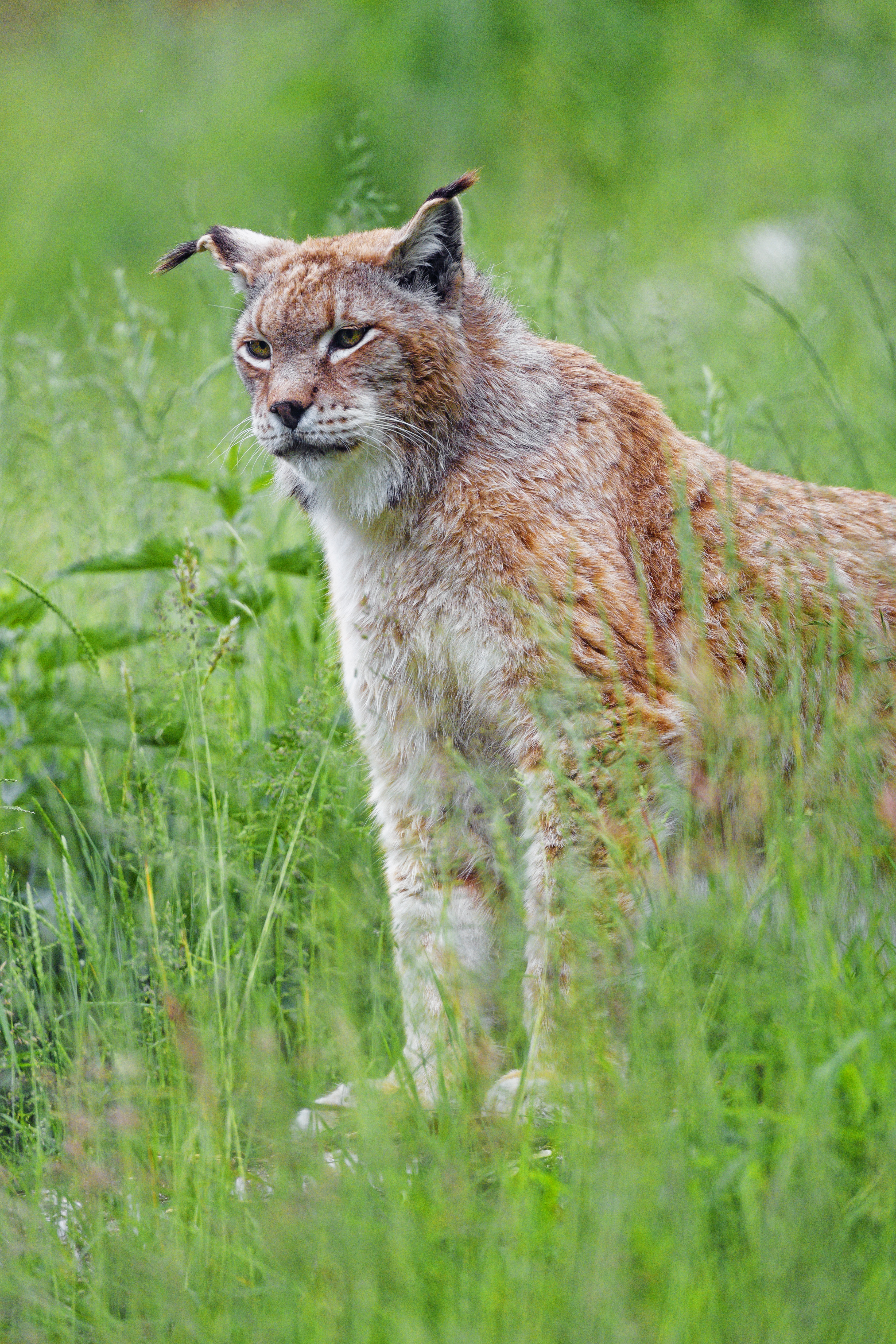 126933 download wallpaper Animals, Iris, Big Cat, Sight, Opinion, Animal, Grass, Predator screensavers and pictures for free