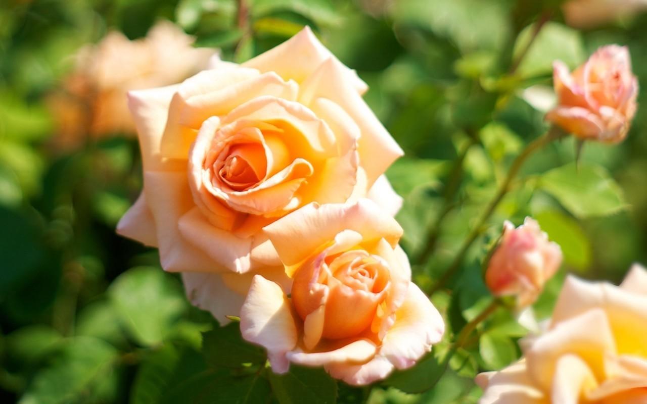 20528 télécharger le fond d'écran Plantes, Fleurs, Roses - économiseurs d'écran et images gratuitement