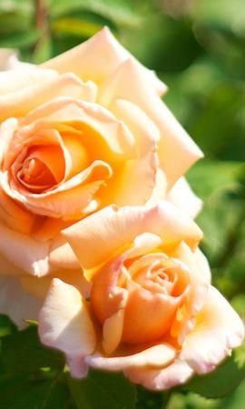 20528 baixar papel de parede Plantas, Flores, Rosas - protetores de tela e imagens gratuitamente