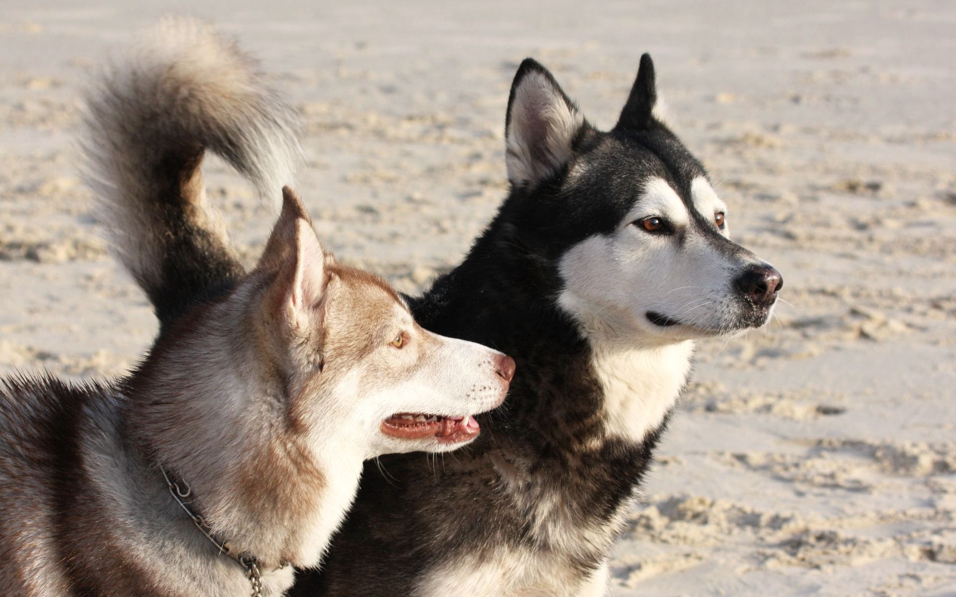 137946 download wallpaper Animals, Malamute, Dogs, Playful, Muzzle screensavers and pictures for free