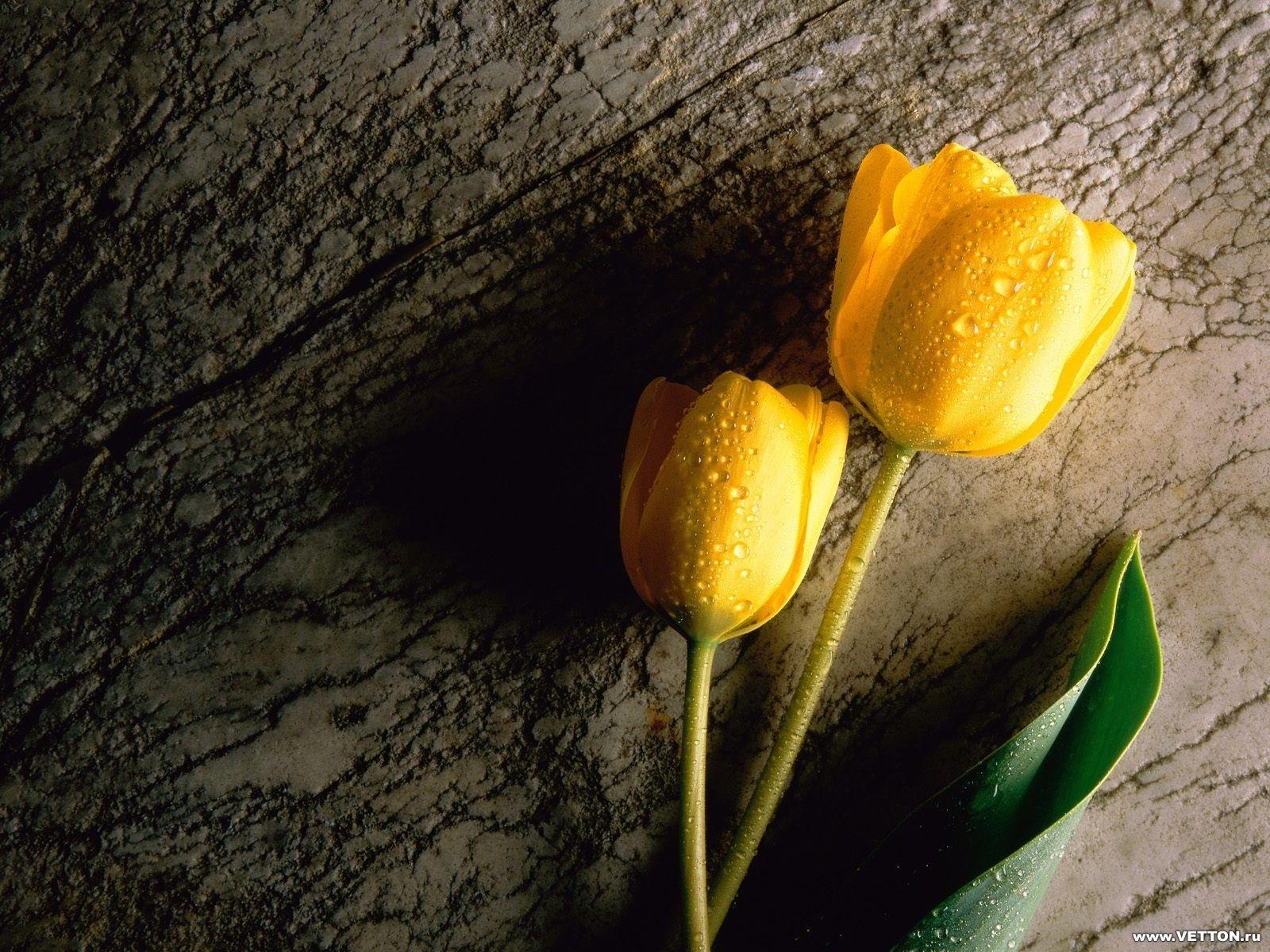 7784 скачать обои Растения, Цветы, Тюльпаны - заставки и картинки бесплатно