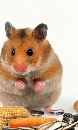 33187 baixar papel de parede Animais, Hamsters - protetores de tela e imagens gratuitamente