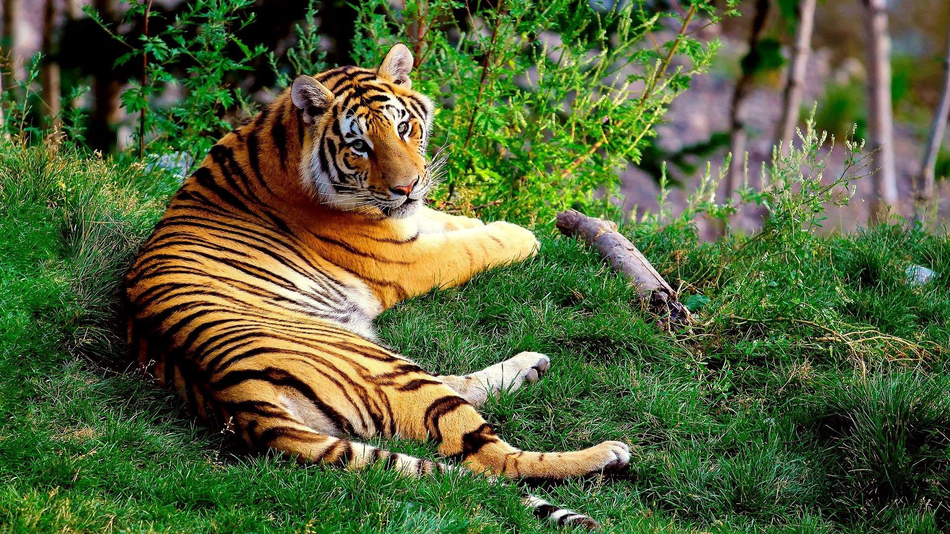 53803 download wallpaper Animals, Tiger, To Lie Down, Lie, Grass, Forest, Big Cat screensavers and pictures for free